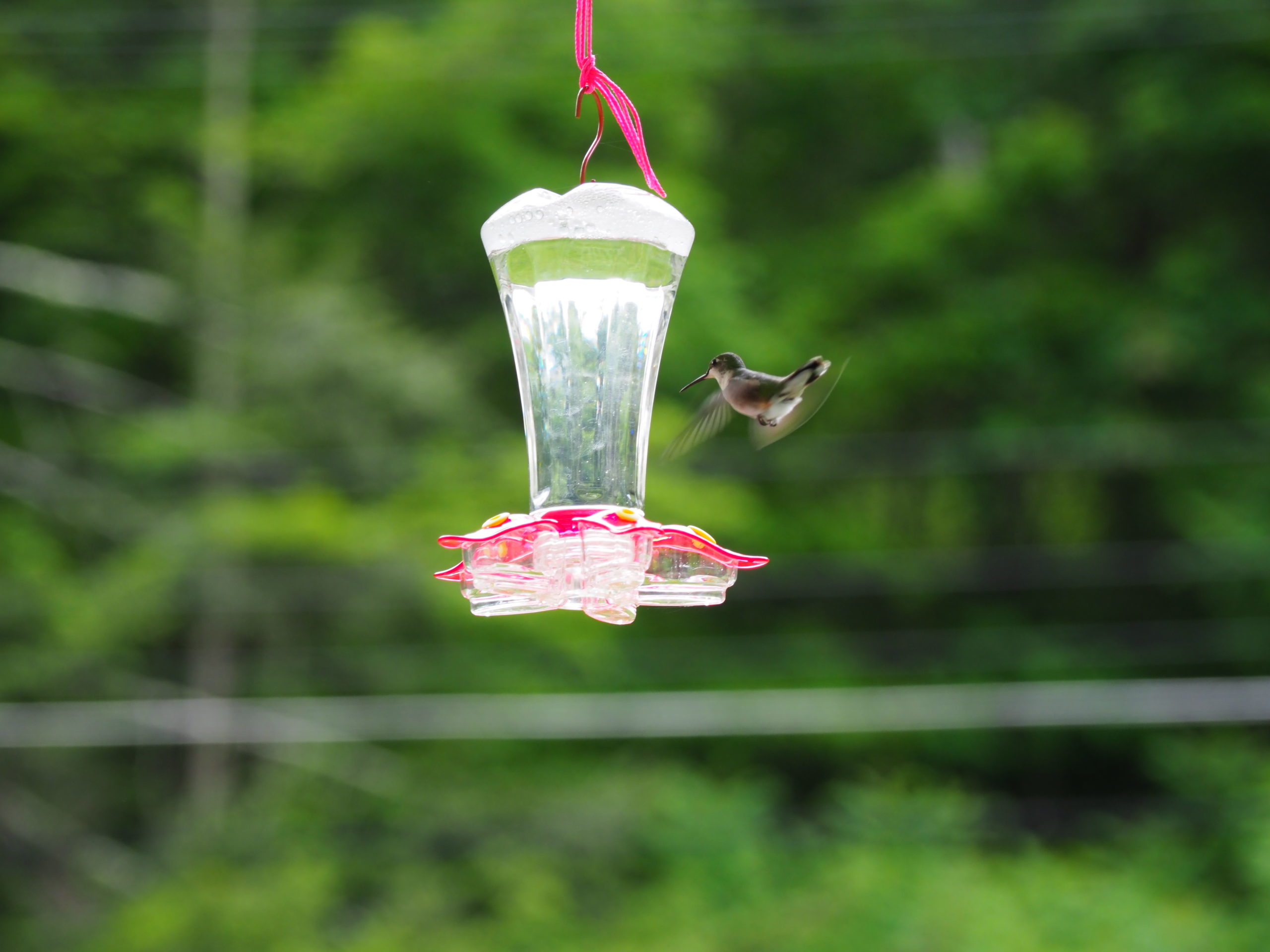 A ruby-throated hummingbird approaches a