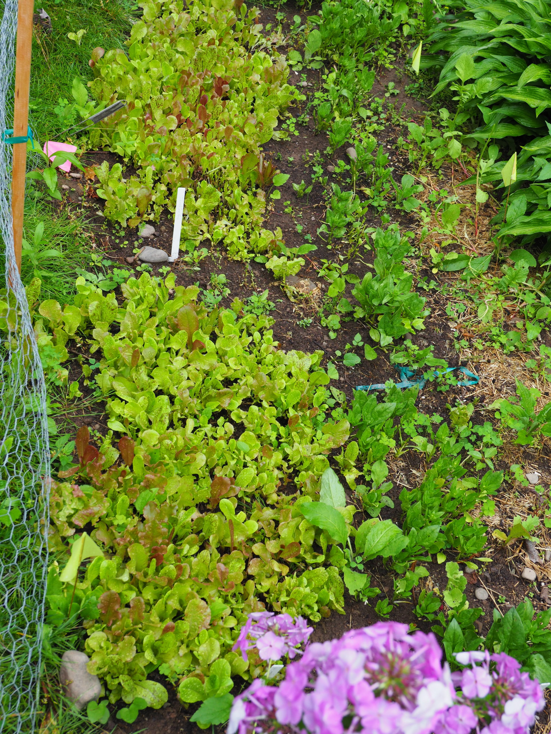 The two baby lettuce plots planted a month apart are on the left. The two plots of less than 15 square feet supply enough salad greens for two people for up to 12 weeks.