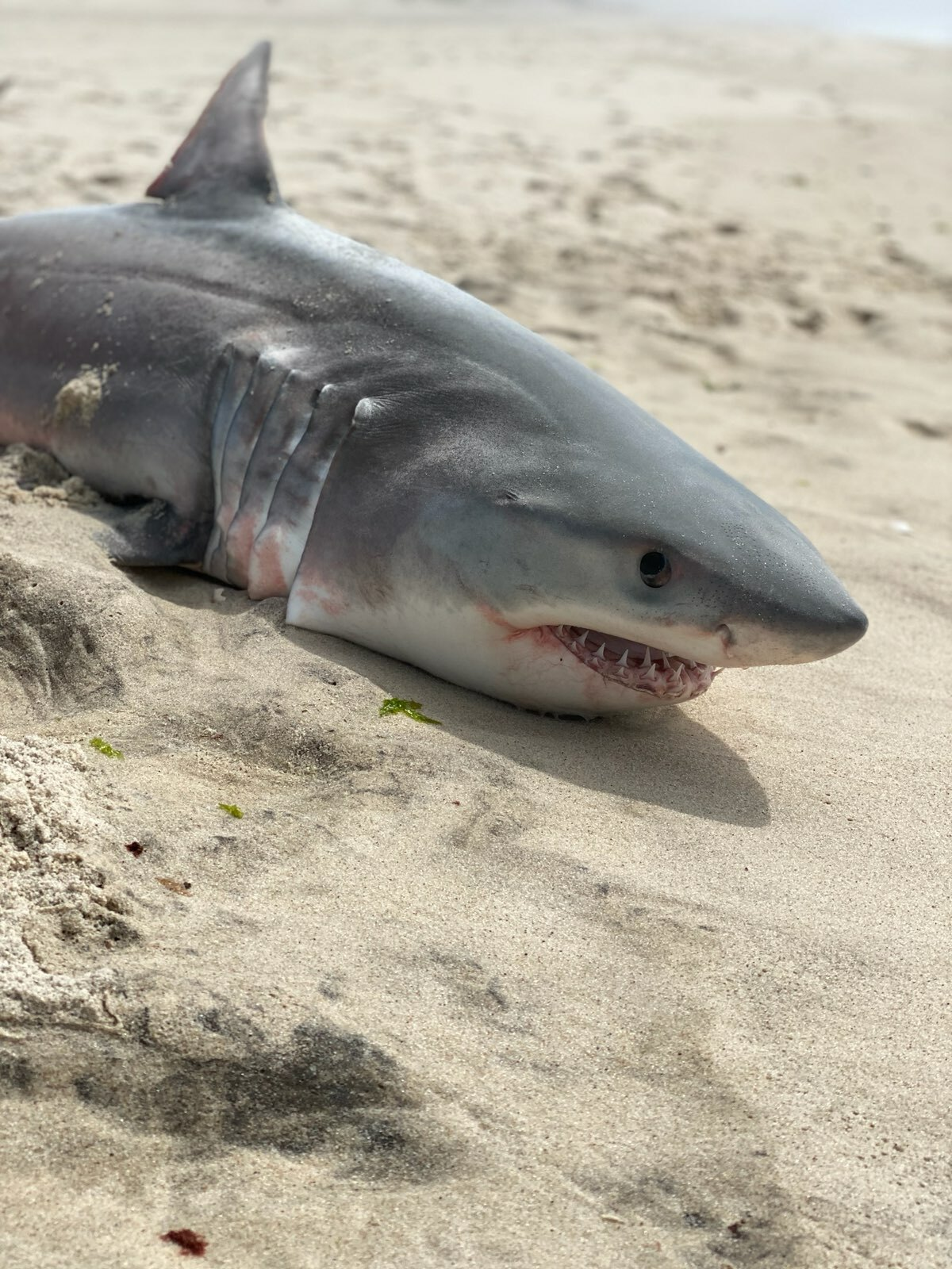 A dead juvenile white shark was found on the beach in Southampton Village last week. The occasional deaths of these young