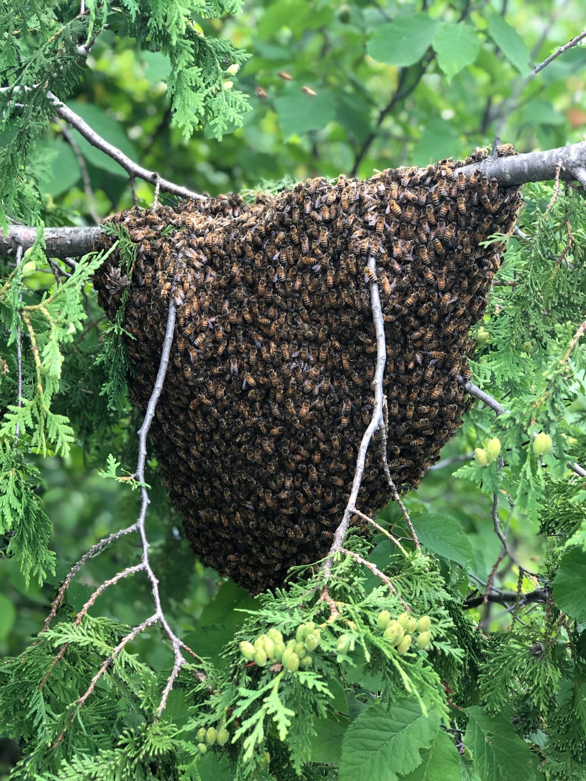 Swarm caught at Juniper Farm in Wakefield, Quebec.