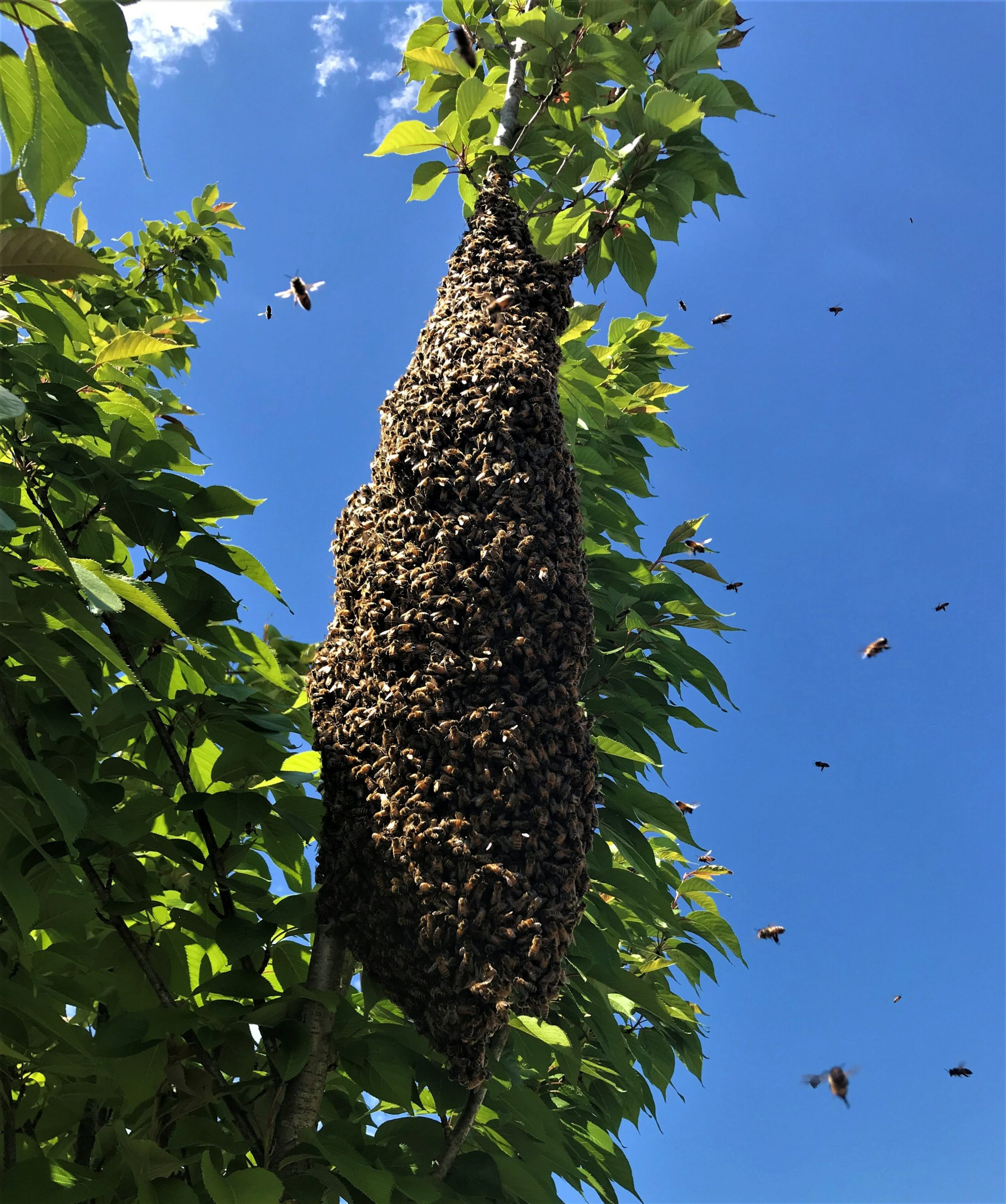 Honeybee swarm.