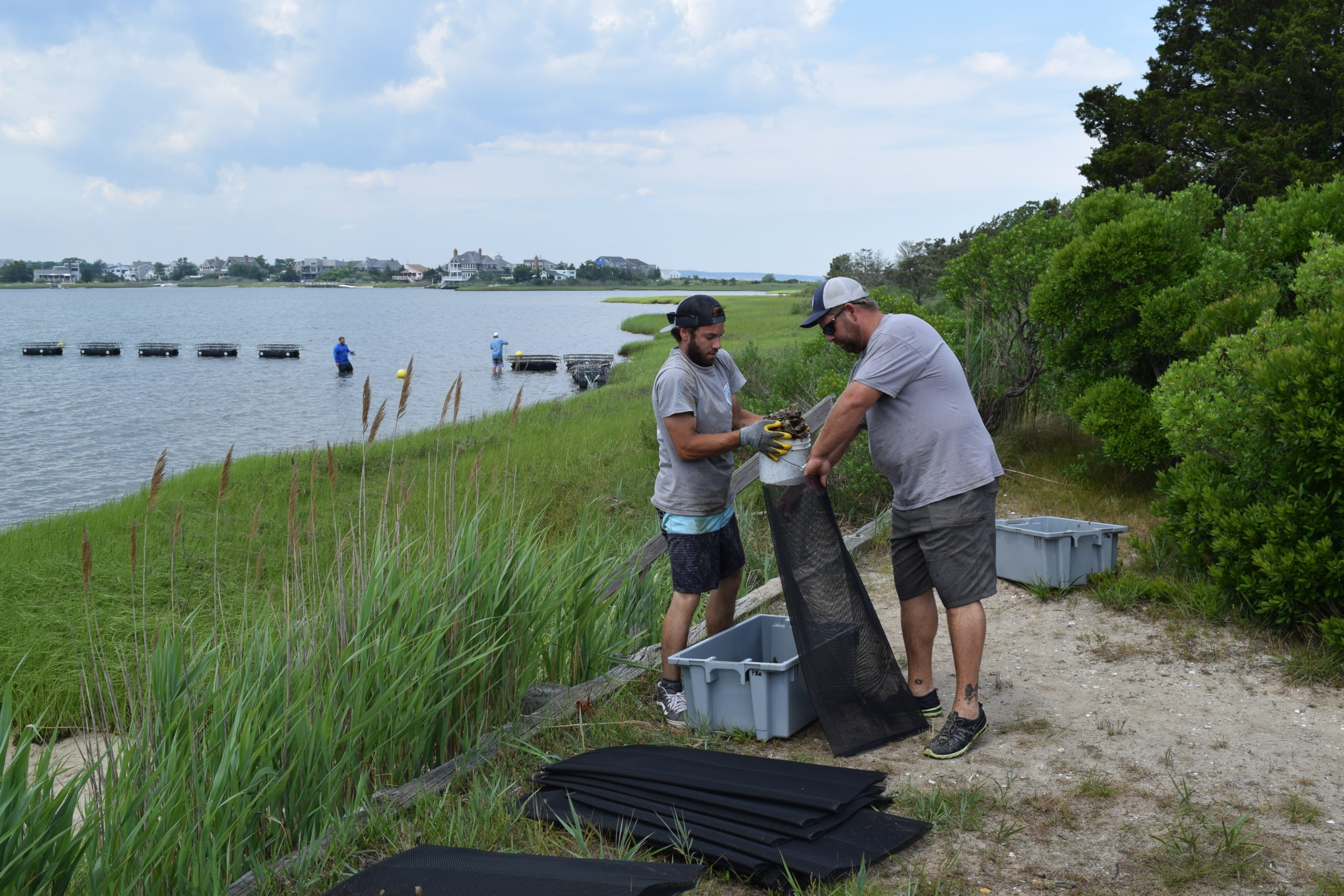 Members of the AWS staff adding oysters to the nursery