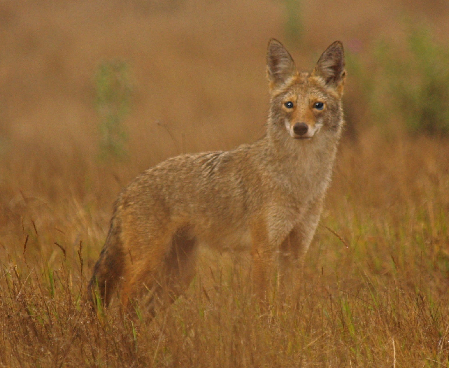 The resourceful coyote is slowly colonizing Long Island, the last significant landmass in North America that it has not completely colonized.  Christa Donaldson