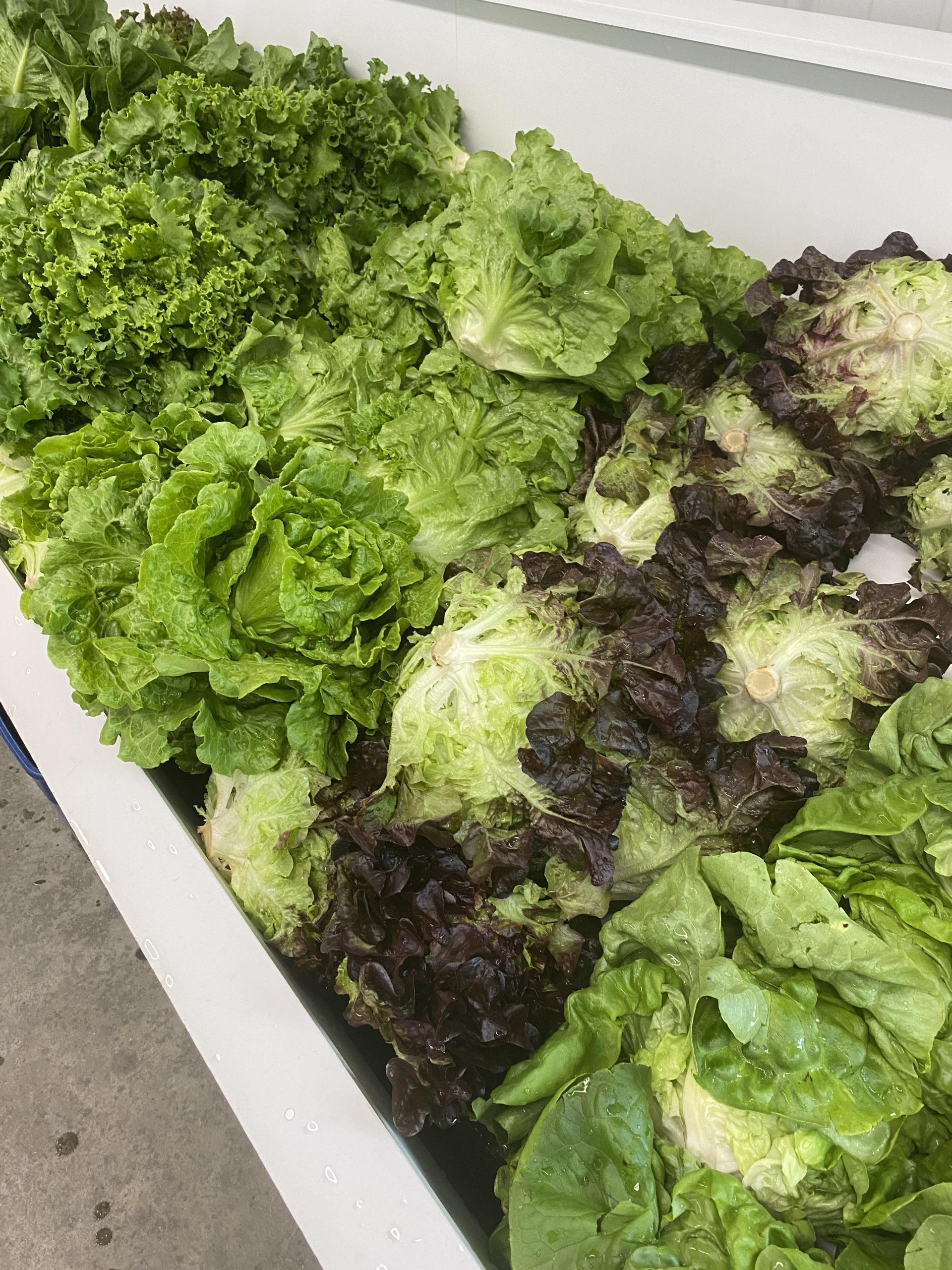 Halsey Farm's spectacular lettuces.  STEVEN STOLMAN