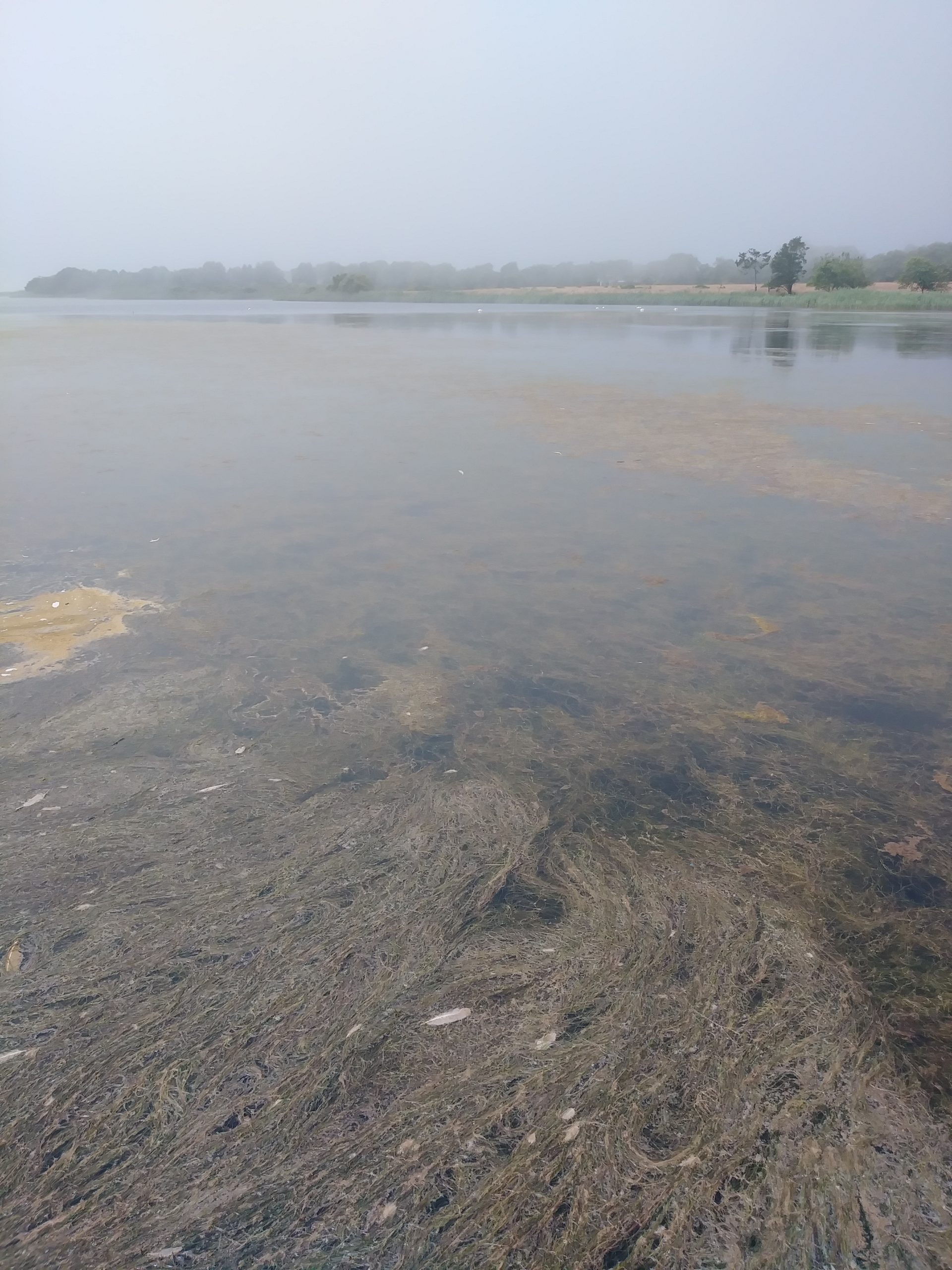 Dense matts of aquatic weeds have returned to Georgica Pond after an experimental removal program was stalled by state regulators and are causing a renewed decline in water quality.