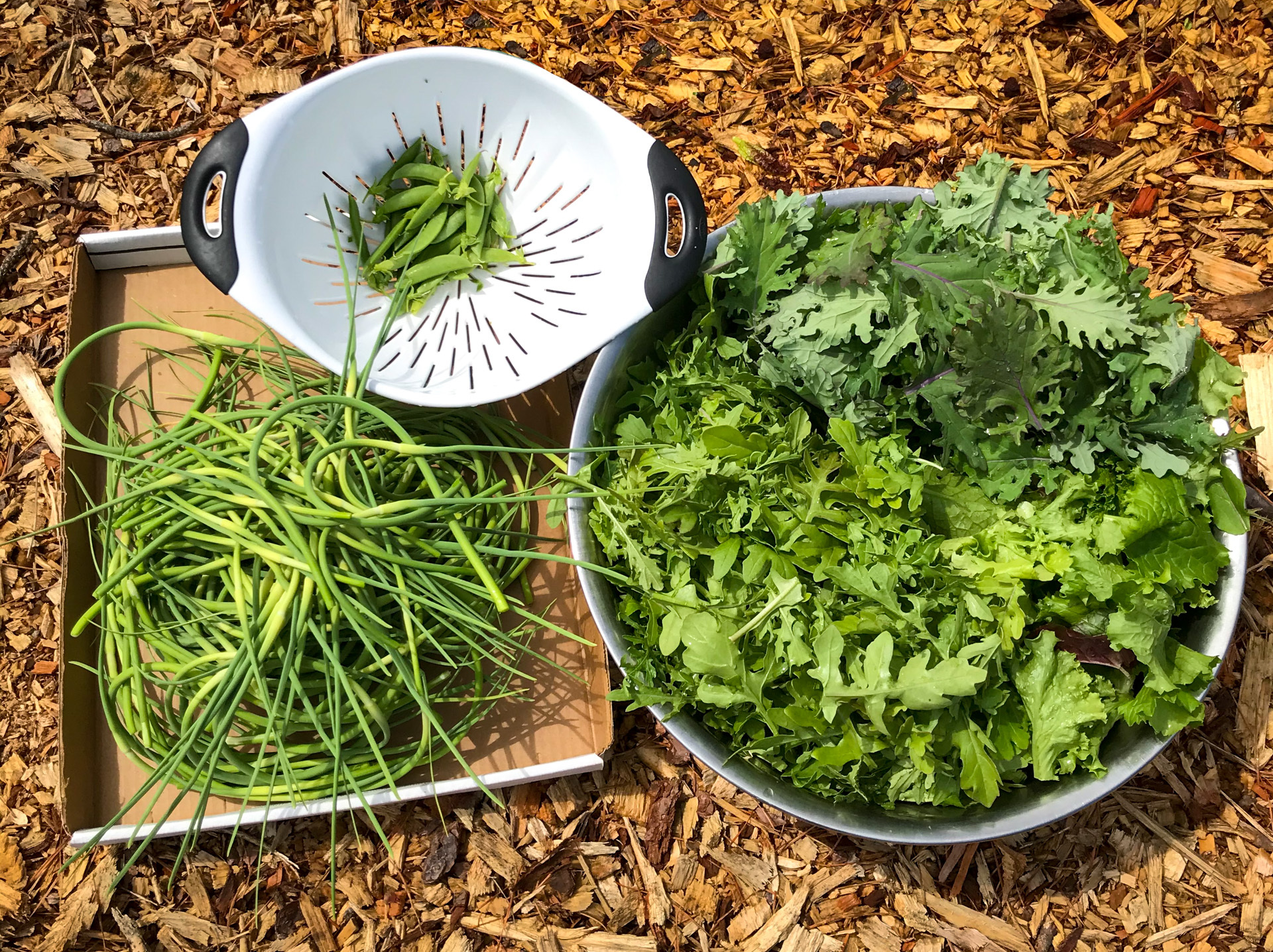 ECI's first 2020 pantry donation harvest. Snap peas, garlic scapes, arugula, kale and mixed greens.