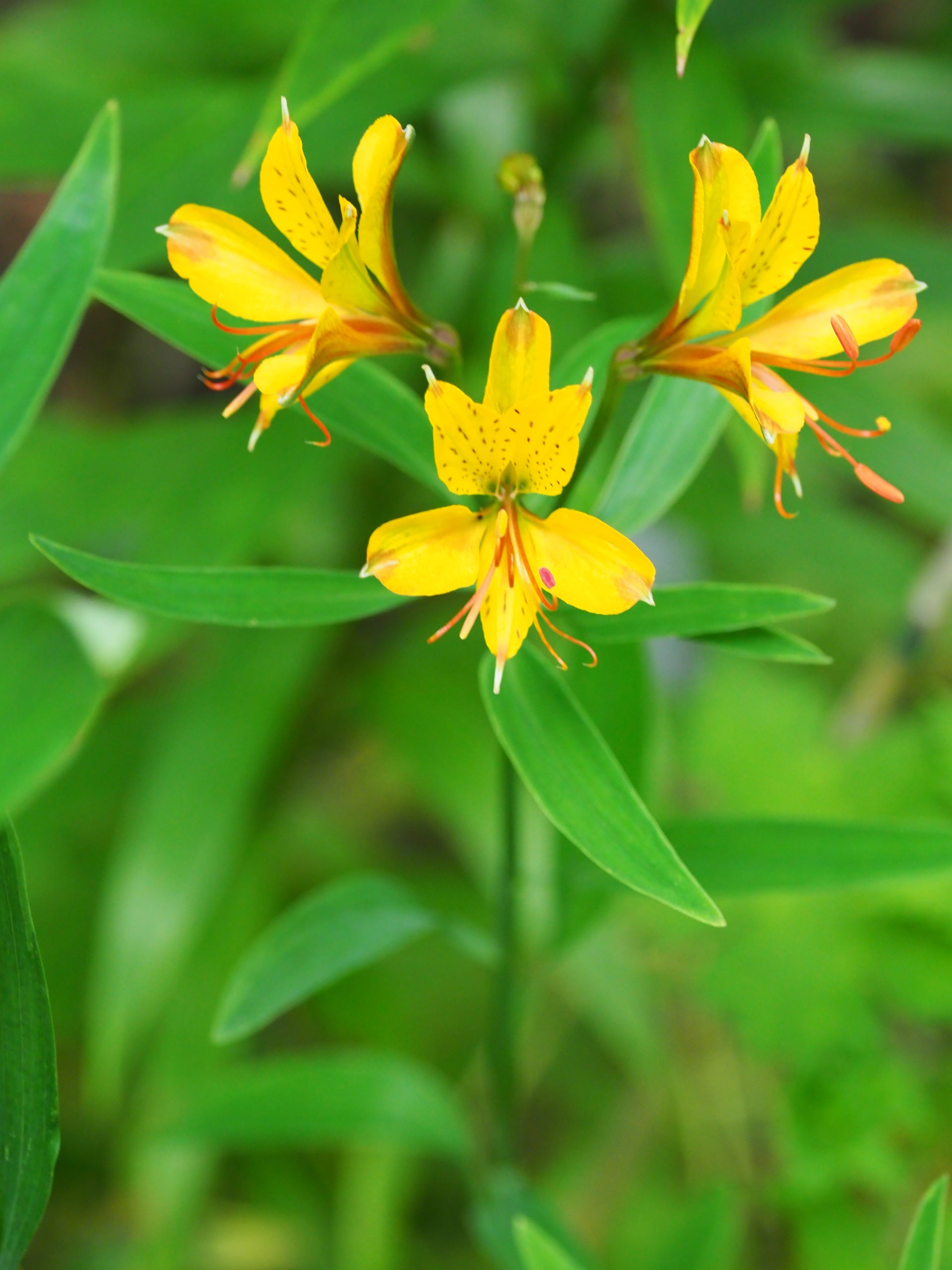 Once thought of as only a cut flower, Alstromeria can make a nice late-summer display with their long stems and small lily-like flowers. Make sure you use varieties hardy in our zone.