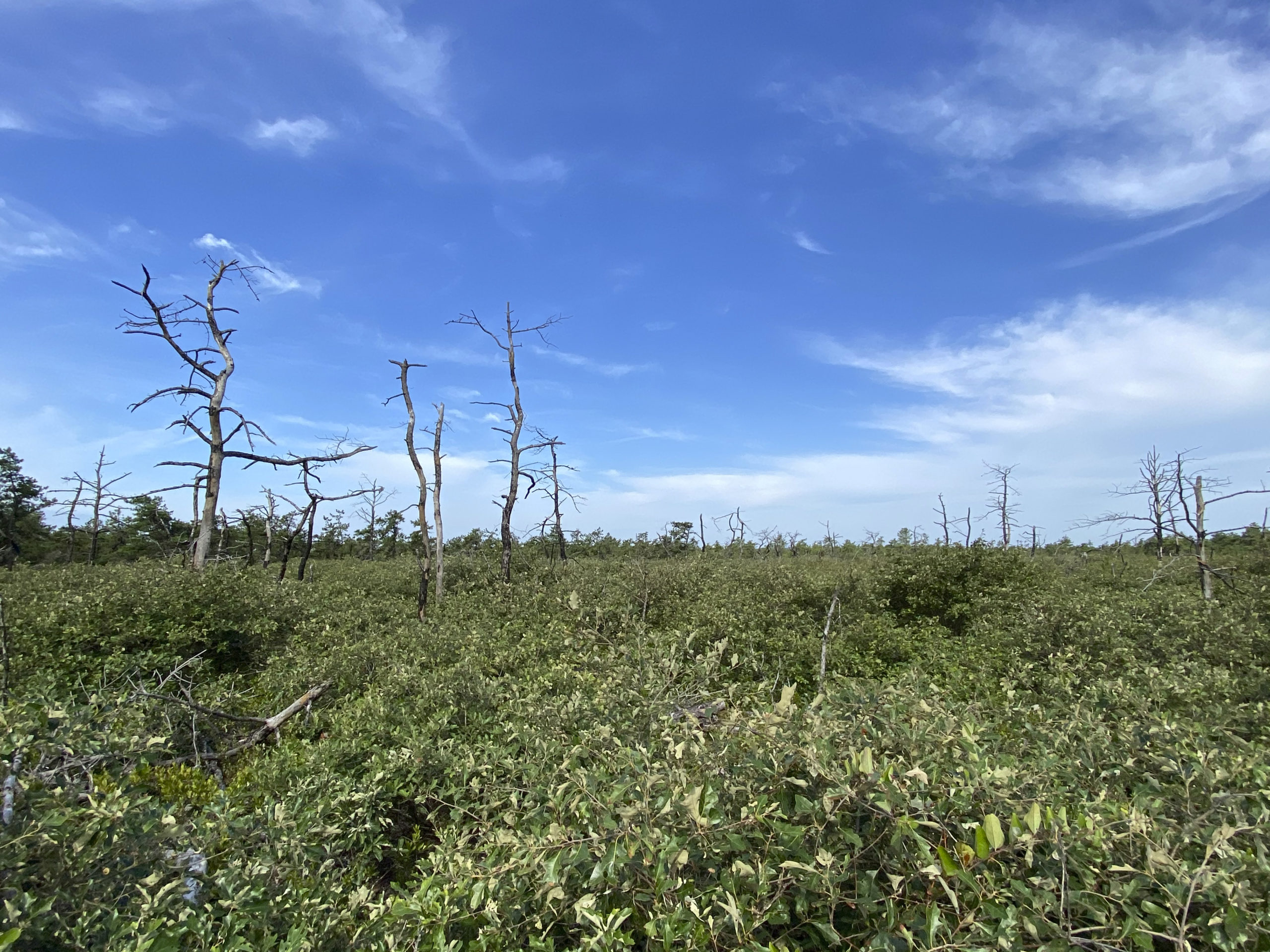 Even though the area in the Pine Barrens in Westhampton has recovered, a few trees burned by the fire can still be seen 25-years later. DANA SHAW
