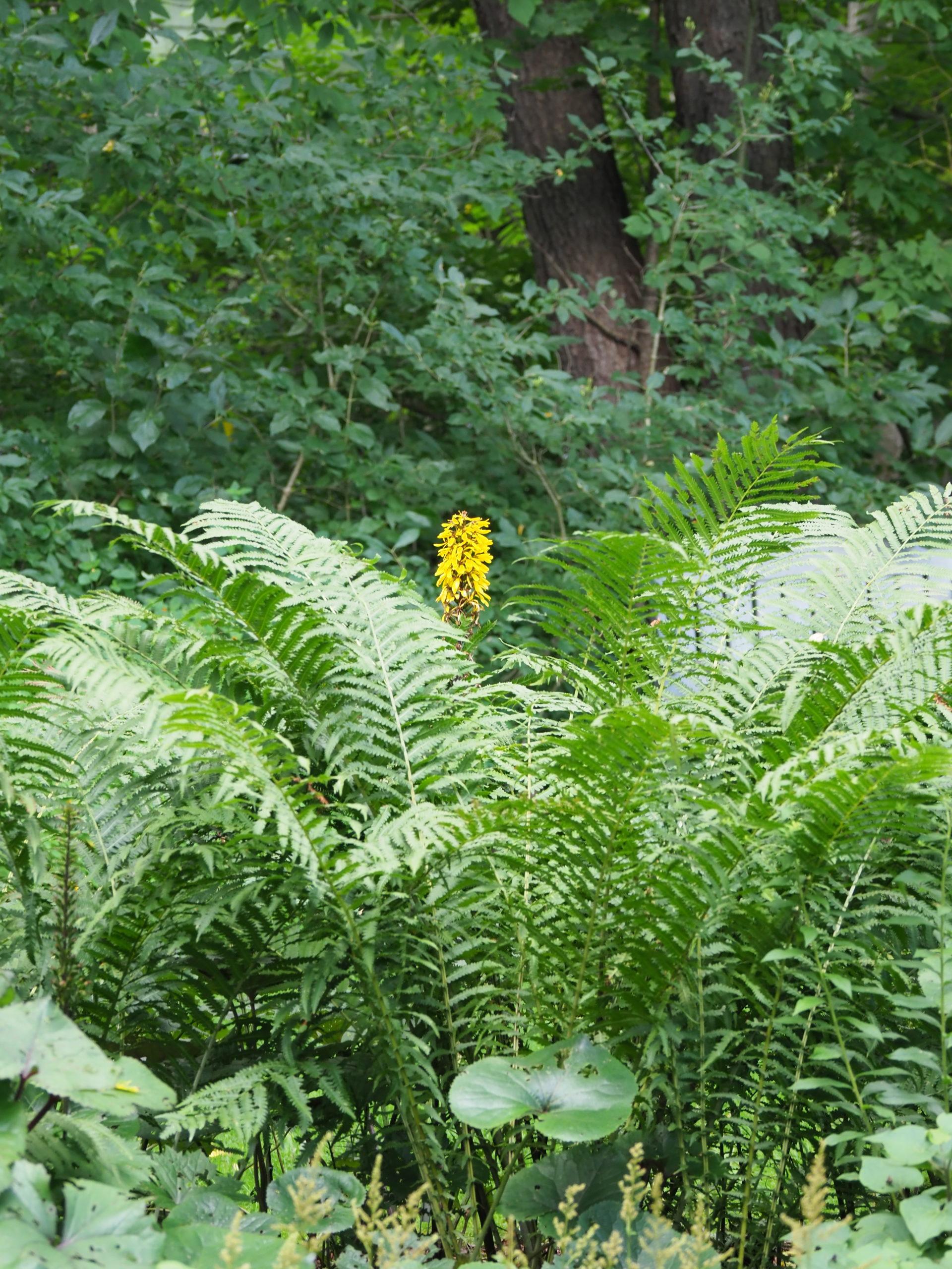 A late flowering Ligularia peeks through foliage of Ostrich ferns.