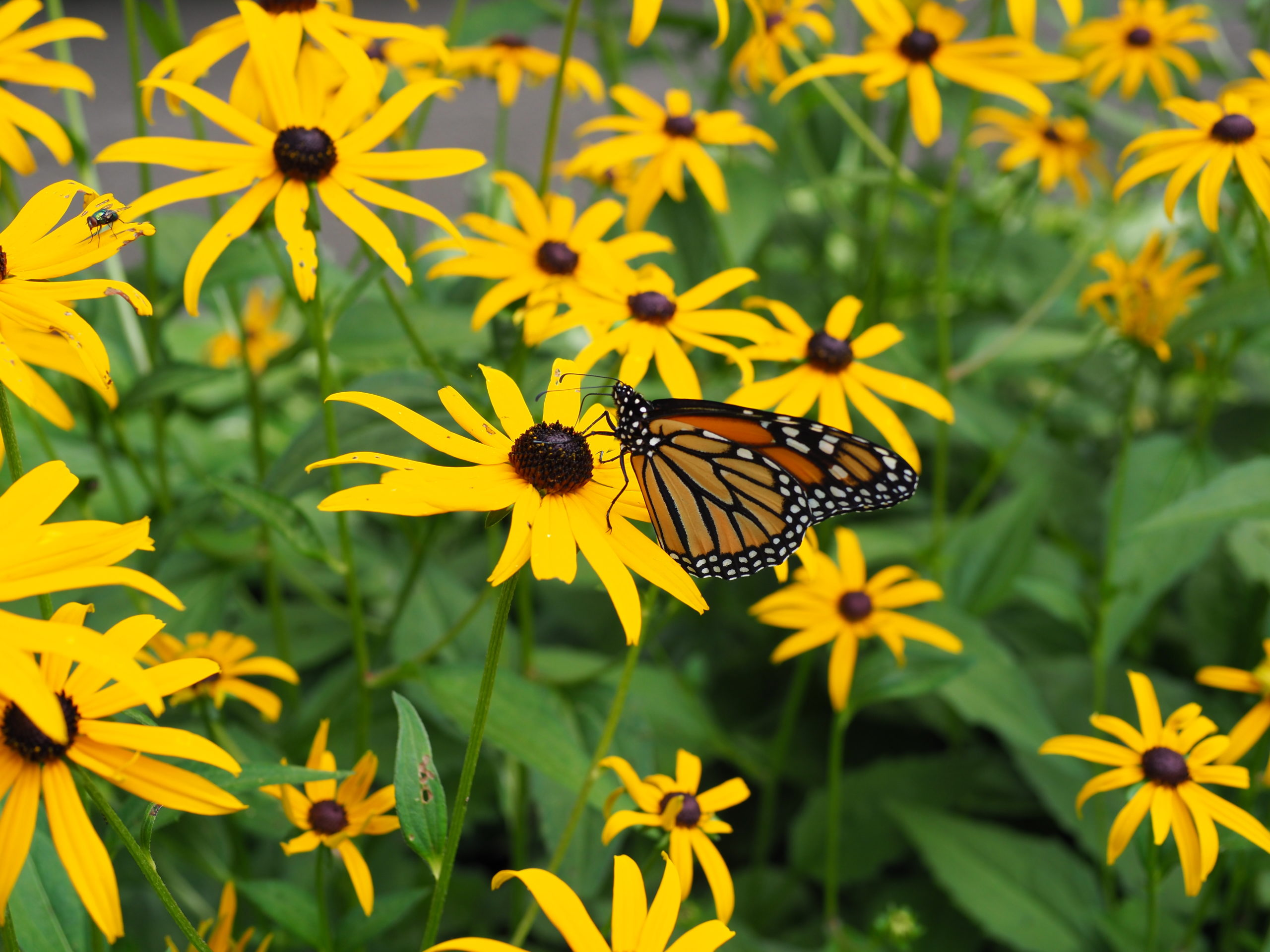 """A monarch butterfly feeds on the flower cone of the late-blooming Rudbeckia """"Goldsturm."""" The monarch spent three hours feeding on this 3-foot-by-6-foot block of flowers without leaving."""