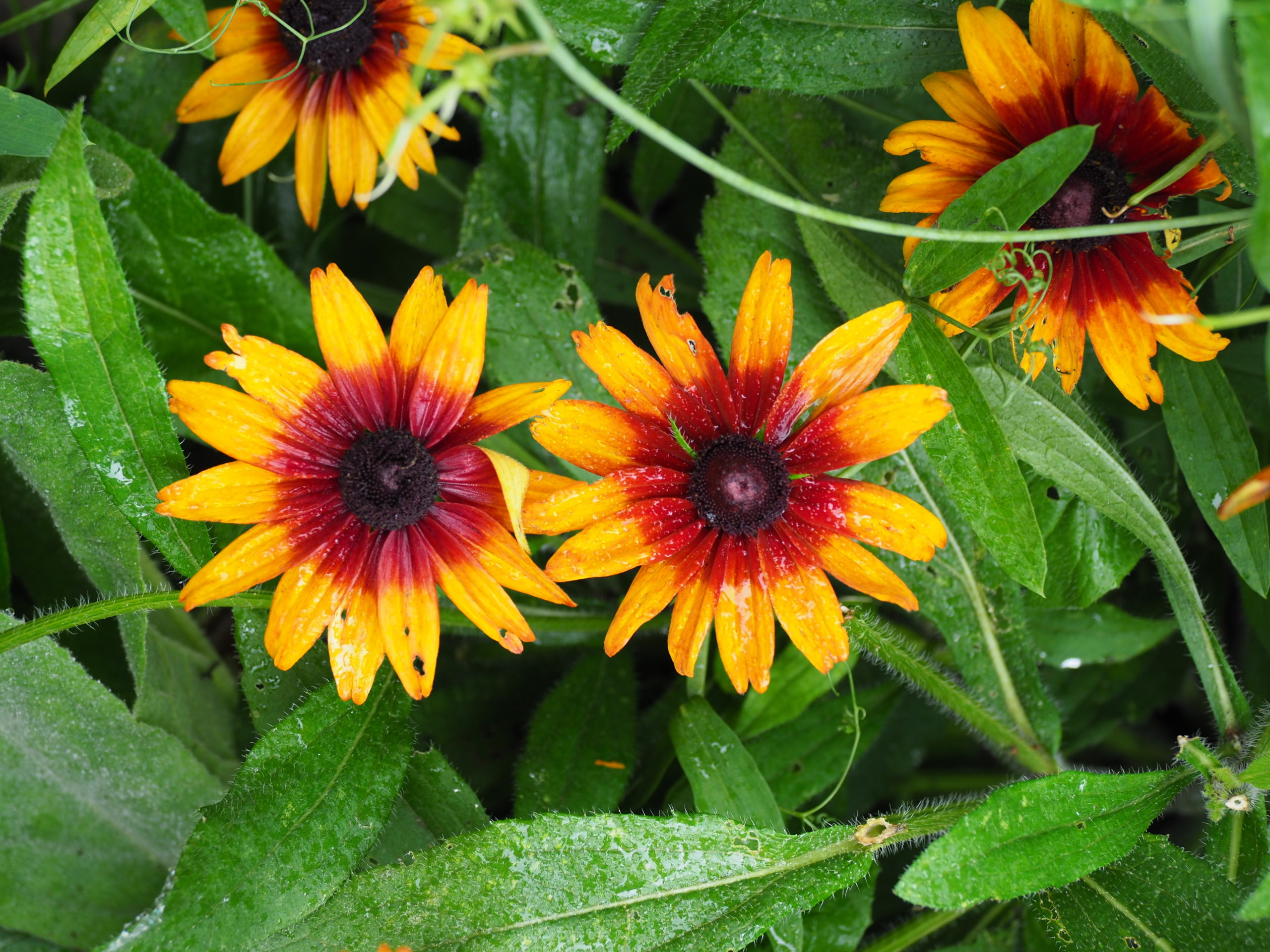Many Rudbeckias put on a great fall show, but this variety, Cappuccino, flowers all summer and into the fall. The mature plant is about 2 feet wide with flowers on 10-to-15-inch stems. Also great for cuts.
