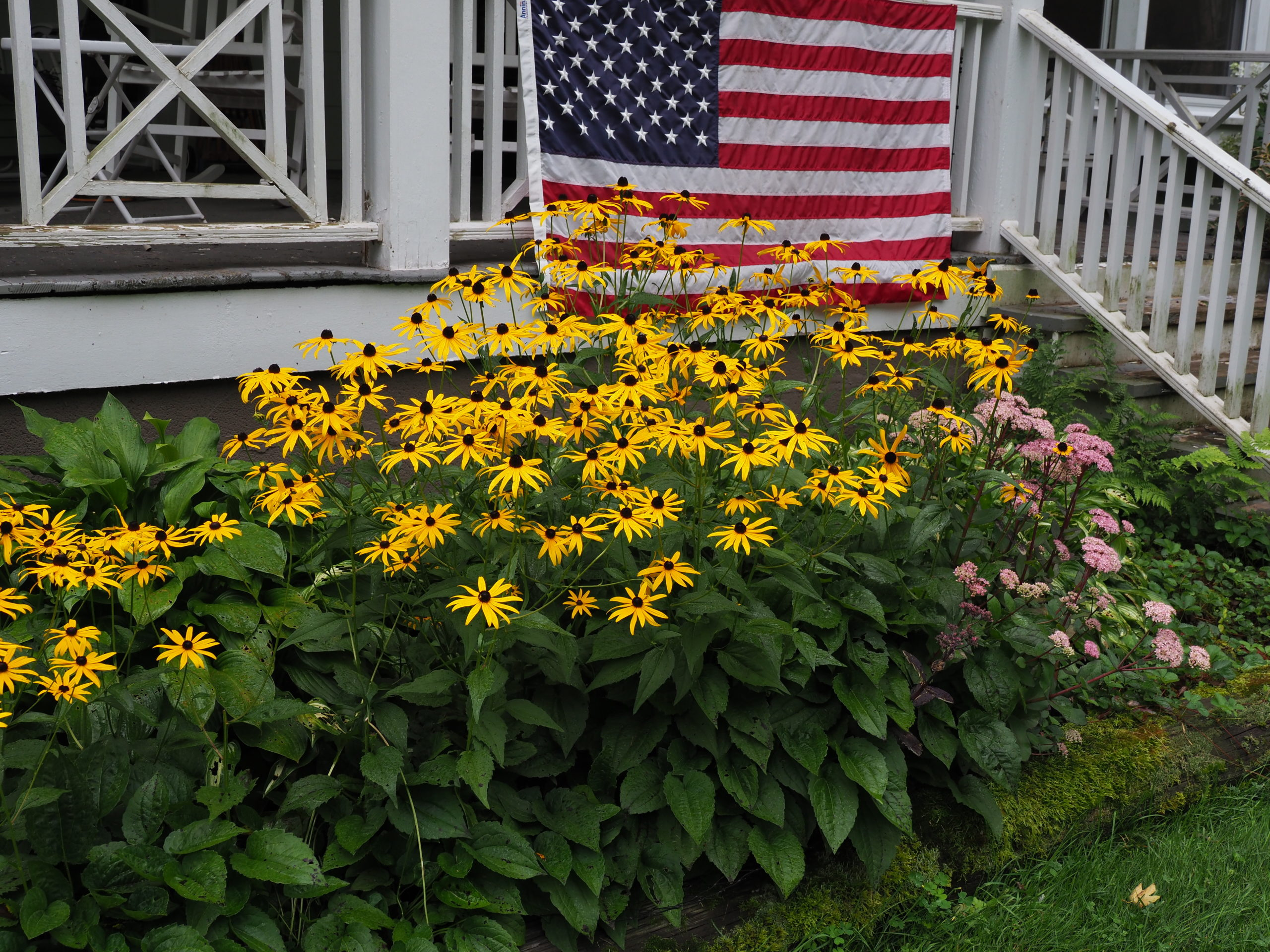 Rudbeckia fulgida var. Goldsturm is a late-summer bloomer that extends into the fall. It's a classic Rudbeckia and popular with landscapers. Heights can range from 15 inches to 2 feet tall (note the shorter plants on the left). Divisions are best for height uniformity, so if that's your goal avoid plants grown from seed. Easily divided every 3 years in the spring as it emerges.
