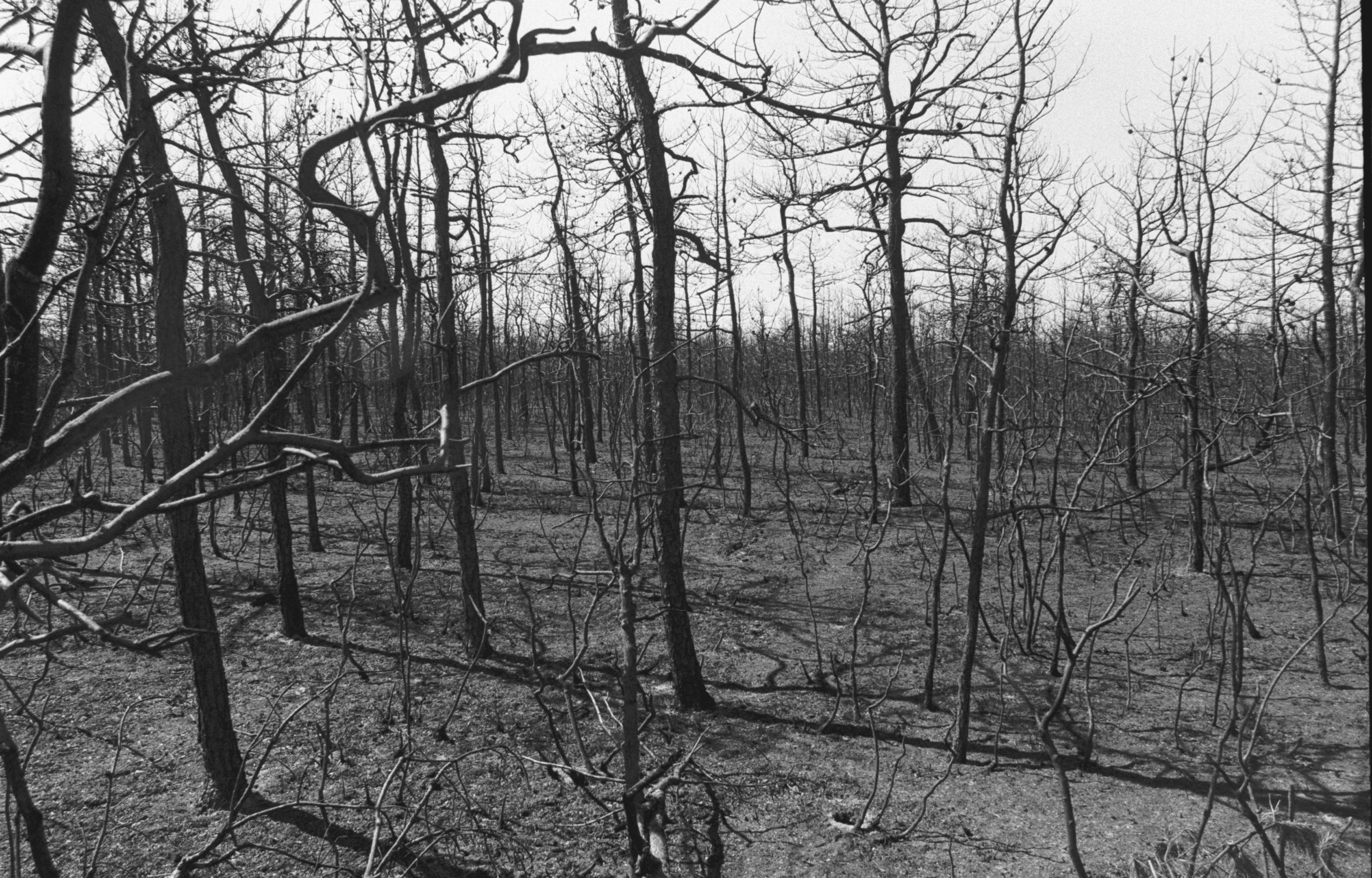 A scorched portion of the Pine Barrens in Westhampton shortly after the 1995 fire. PRESS FILE