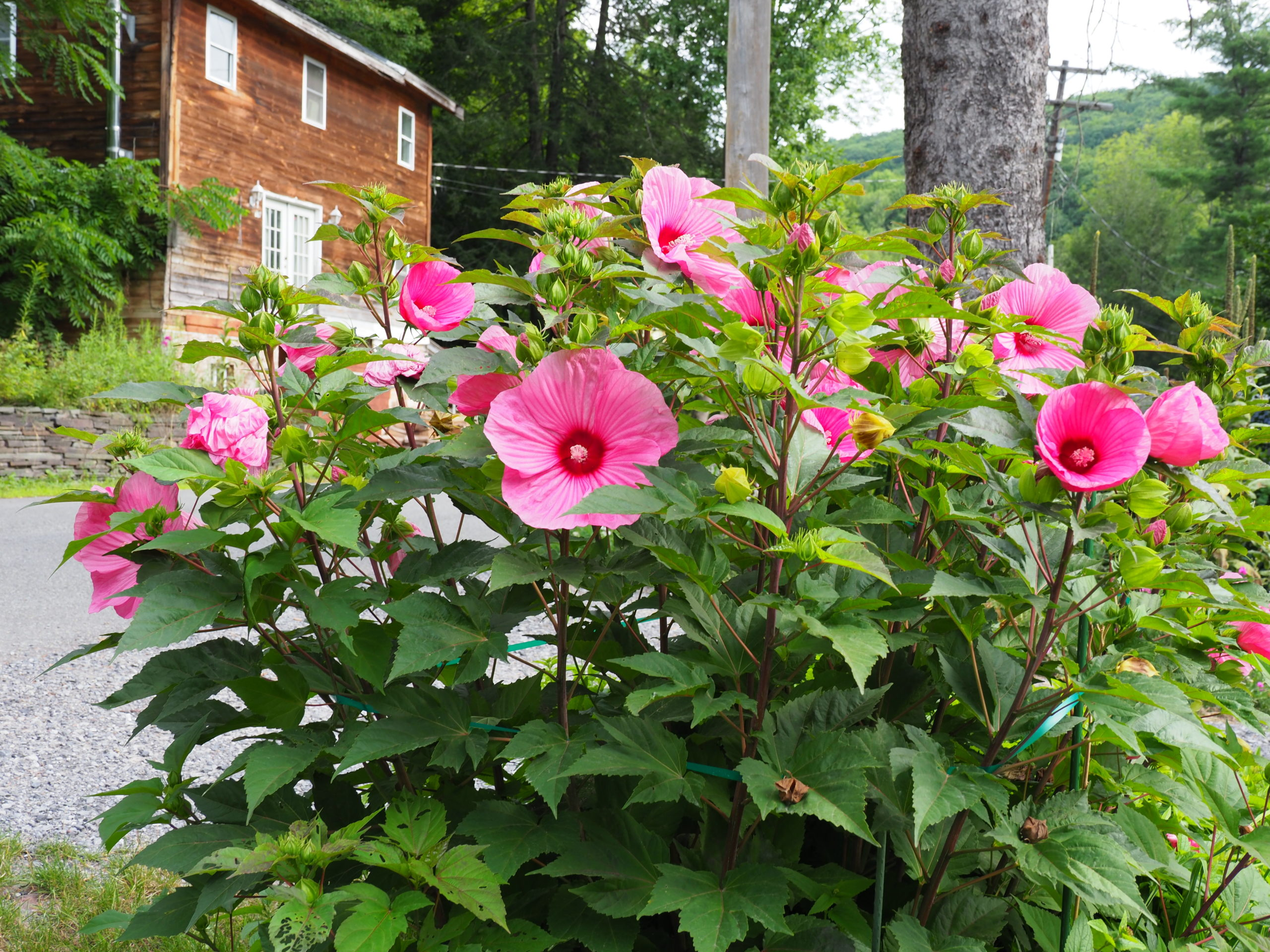 "Hibiscus ""Brandy Punch"" thrives in August heat and can have 20 or more flowers open at one time."