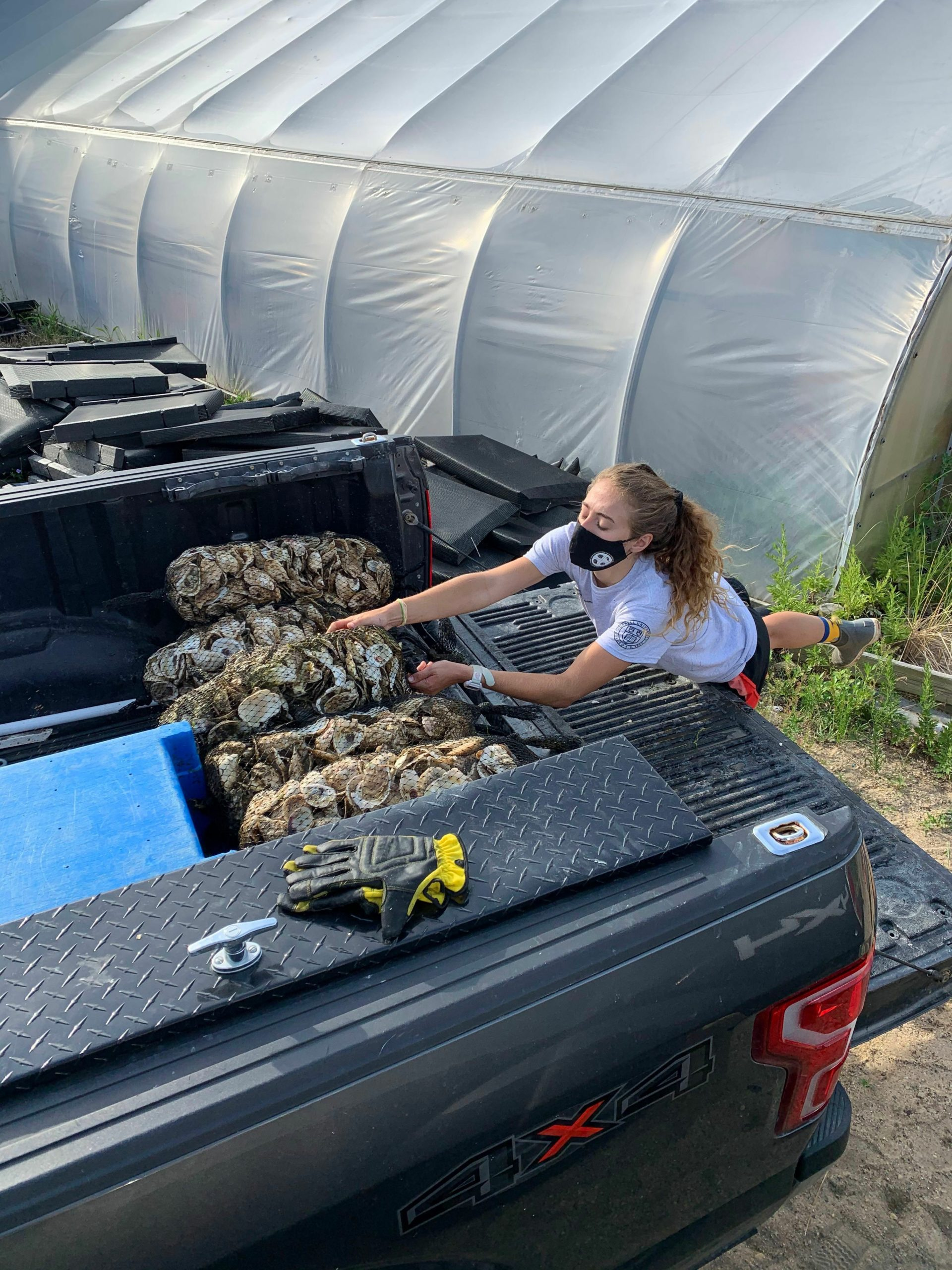 The 100,000 oysters were grown at the Cornell Cooperative Extension Marine Program hatchery in Southold and then placed along the banks of Gurney's Star Island Yacht Club.