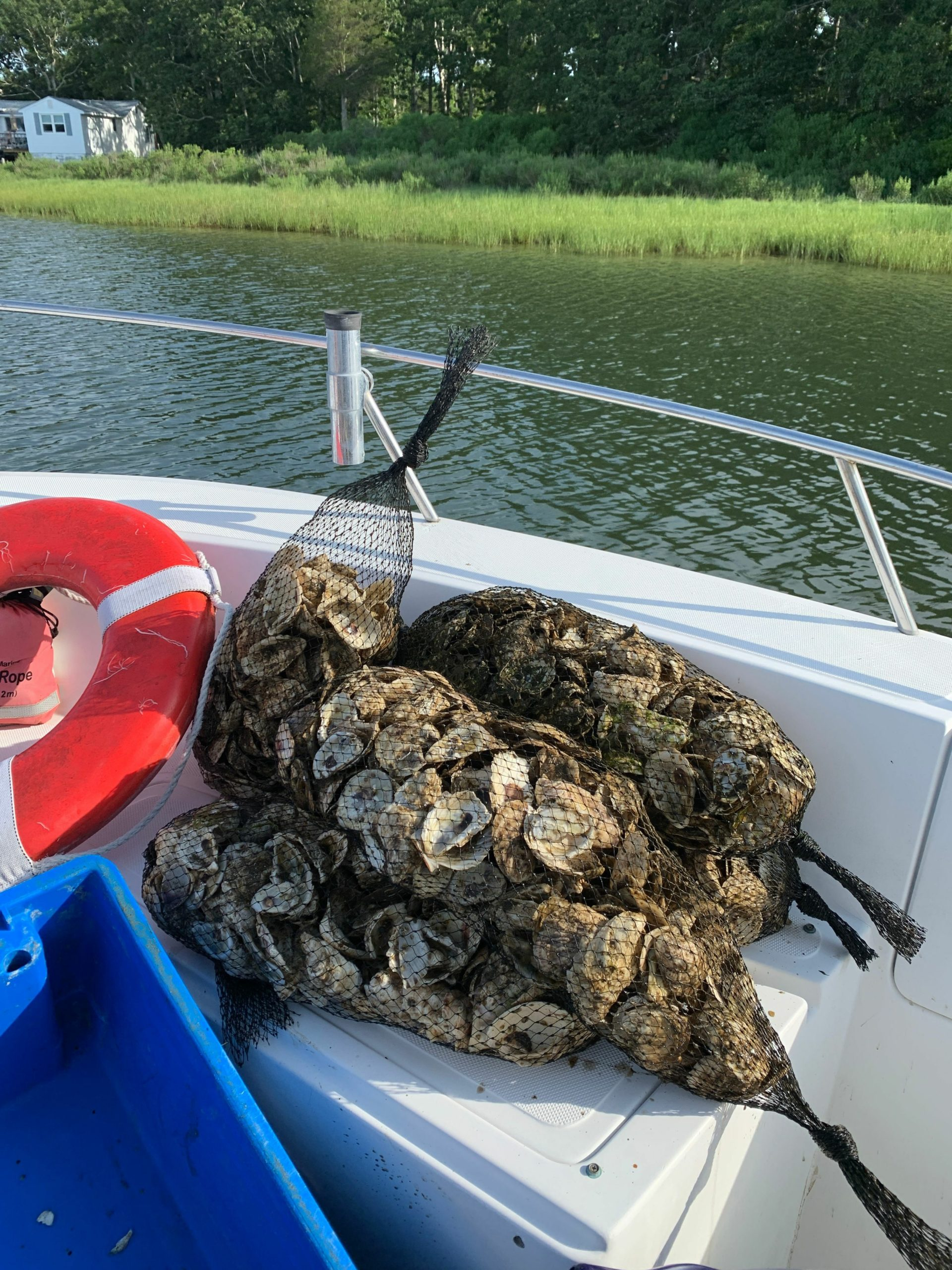 The baby oysters, known as spat, were grown on the shells of dead adult oysters to give the