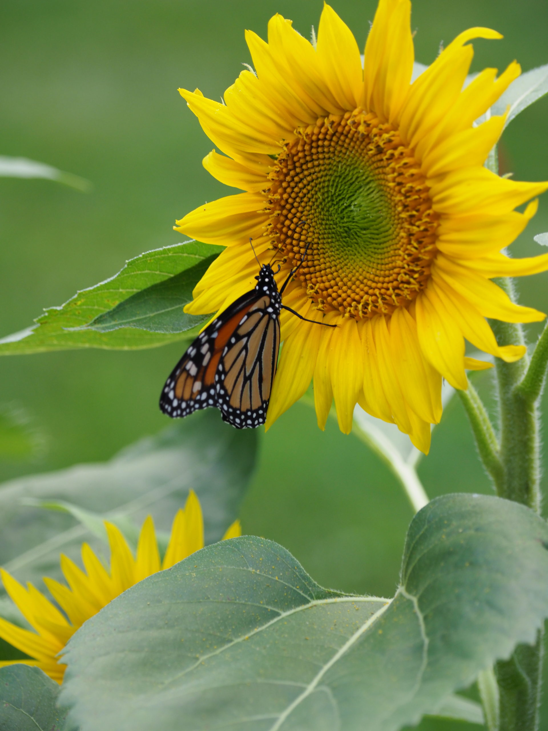 The only annual in the garden is an interloper from the neighbor's bird feeder. This is a French type of sunflower (so neighbor Nancy claims) and the Monarch seems to be enjoy the international taste.
