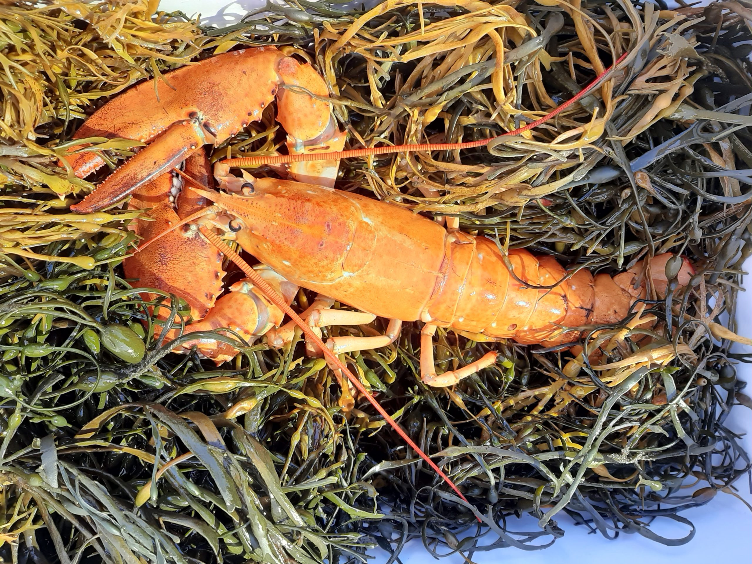 The lobster as it was transported to New York Aquarium, in a cooler on a bed of ice, seaweed and sea lettuce. DEBBIE TUMA