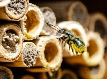 Livestream Series – Harvesting Mason Bee Cocoons
