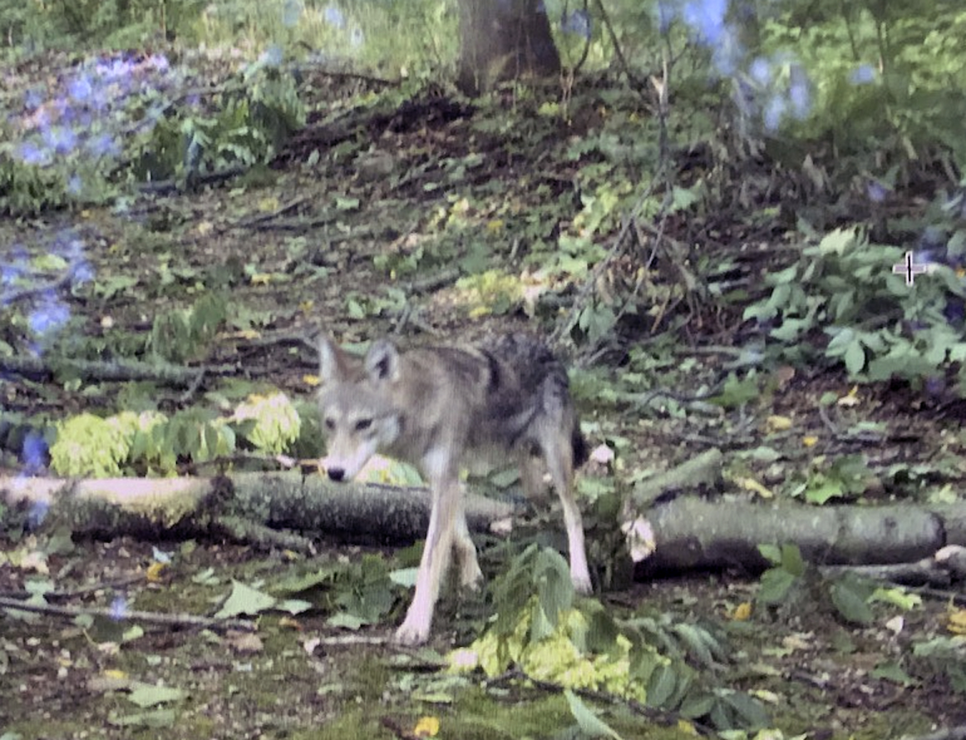 "Note the ""white socks"" on this coyote.       Stephane Perreault"