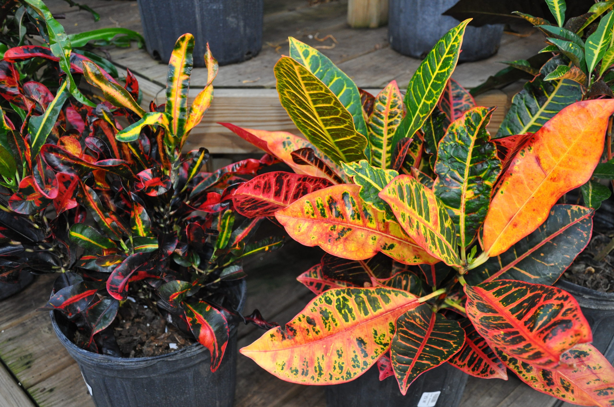 Crotons are valued for their colorful foliage and are available in pot sizes from 4 inches up. These are not long-lived plants and cold temperatures will result in sudden leaf drop.