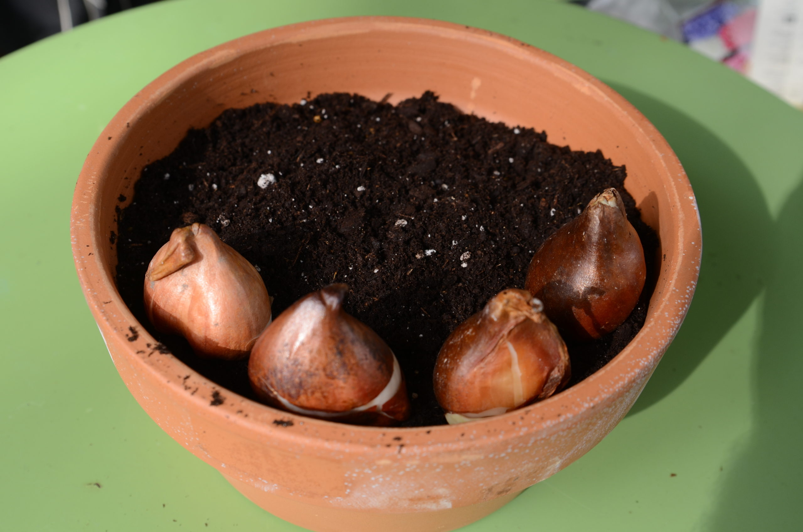 A 10-inch bulb pan (clay) filled with lightly moistened Pro-Mix. The initial four tulip bulbs (flat side facing out) are placed for spacing. When completed, the pot will hold 11 bulbs.
