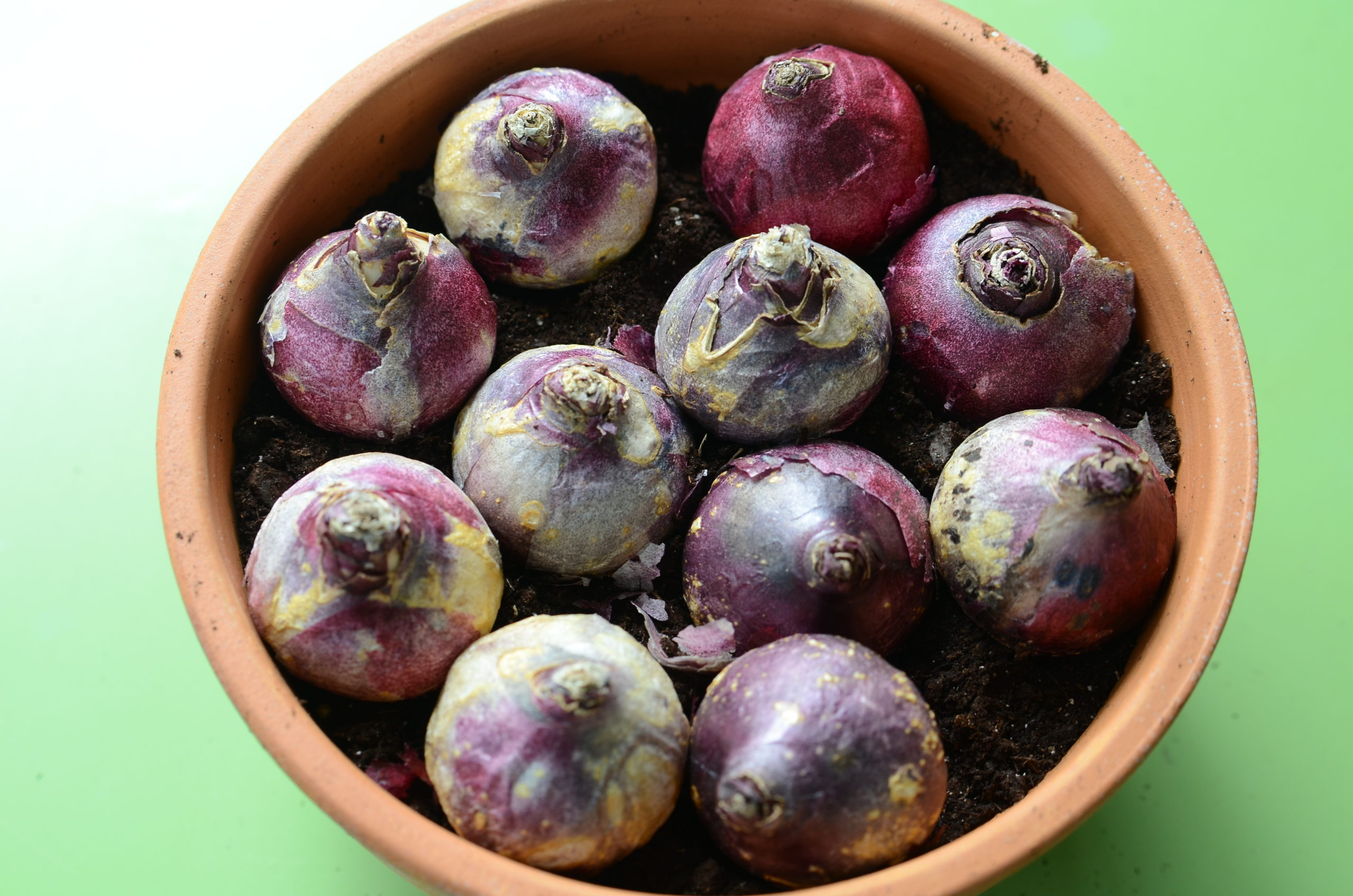 Eleven hyacinth bulbs have been set on the soil in a 10-inch bulb pan. No matter what bulb is planted, the