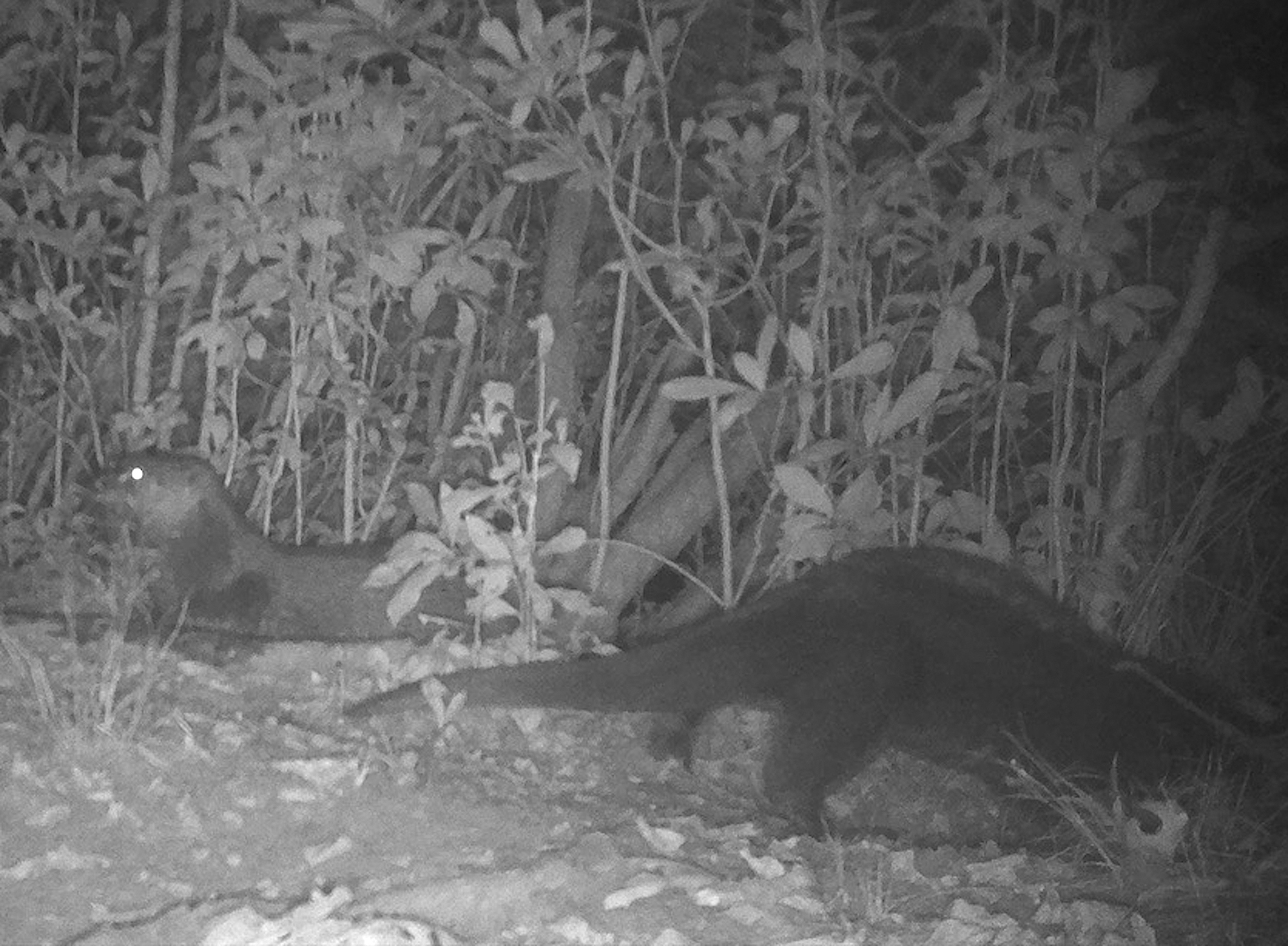 A pair of otters photographed in the Connetquot watershed, the first south shore watershed to be colonized by otters.                Yuriy Litvinenko