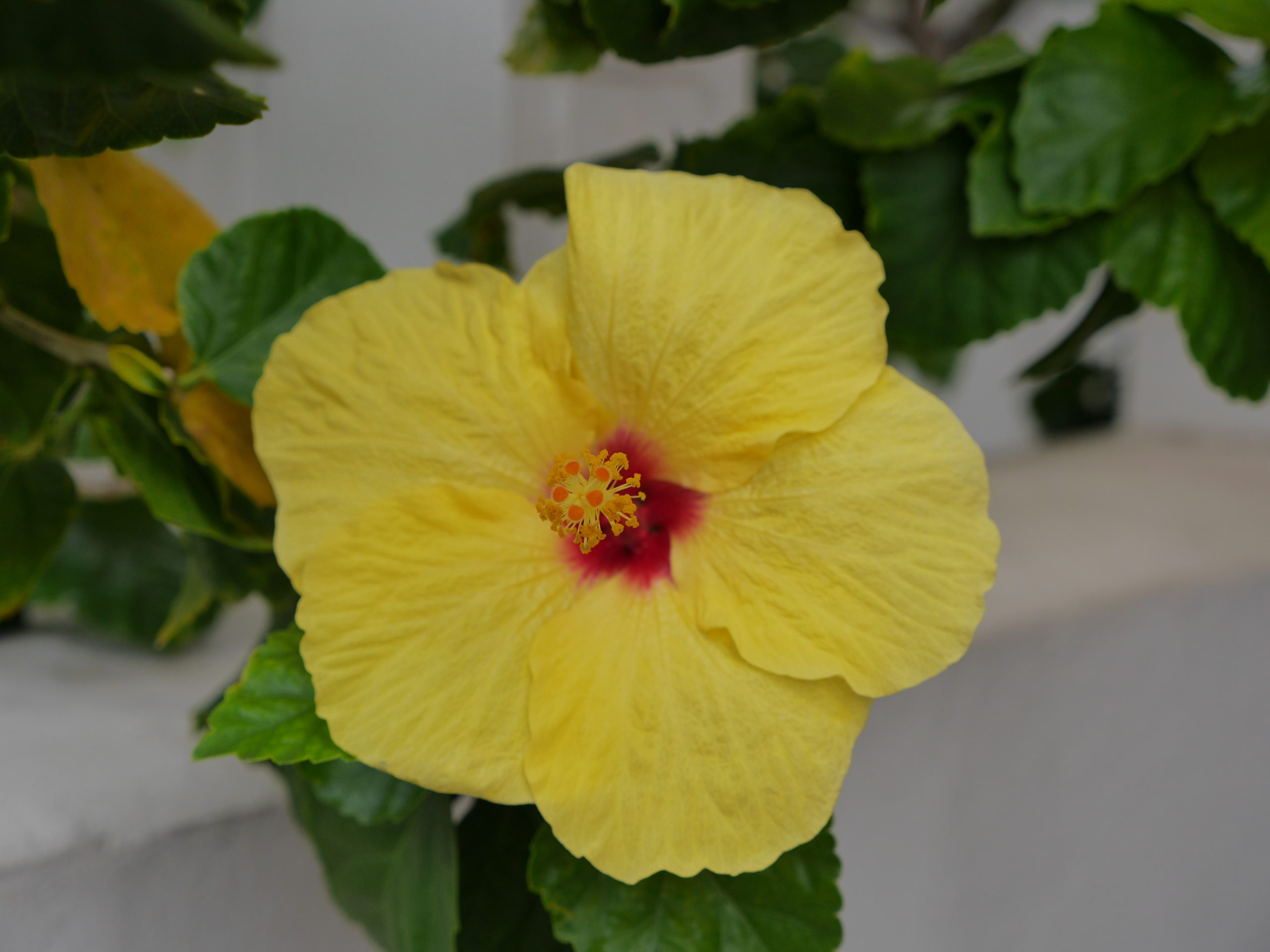 Tropical Hibiscus are hard to pass up when in flower. However, the need plenty of light and warm temperatures and can have a number of insect issues. These, too, can be fast growers, but unlike the Schefflera, the Hibiscus can easily be pruned and managed.