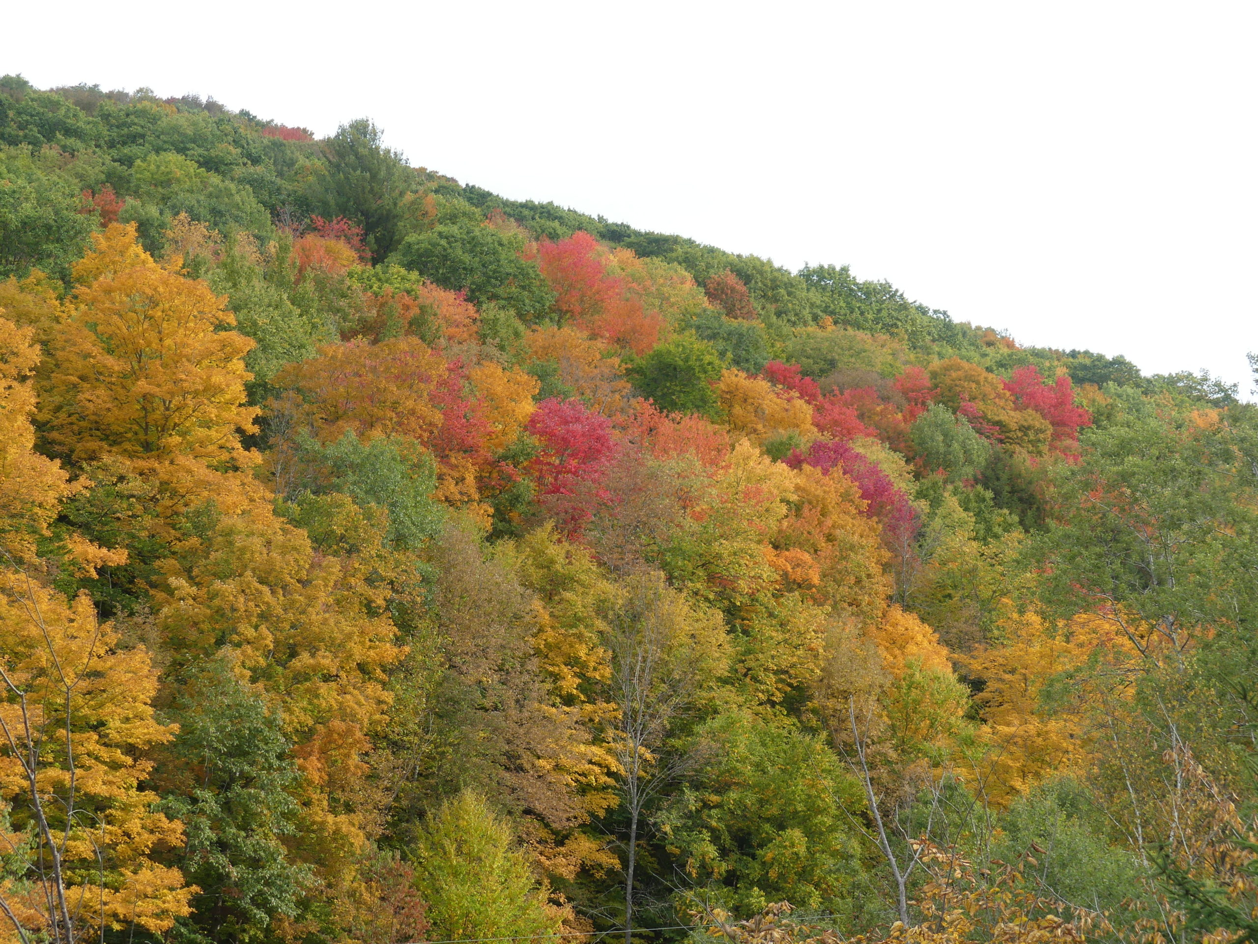 Fall colors showing up in the central Catskills last weekend. This is the weekend to get out and travel north and west to see the magnificent oranges, reds and yellows because in a week the colors will dull north of Dutchess and Orange counties.