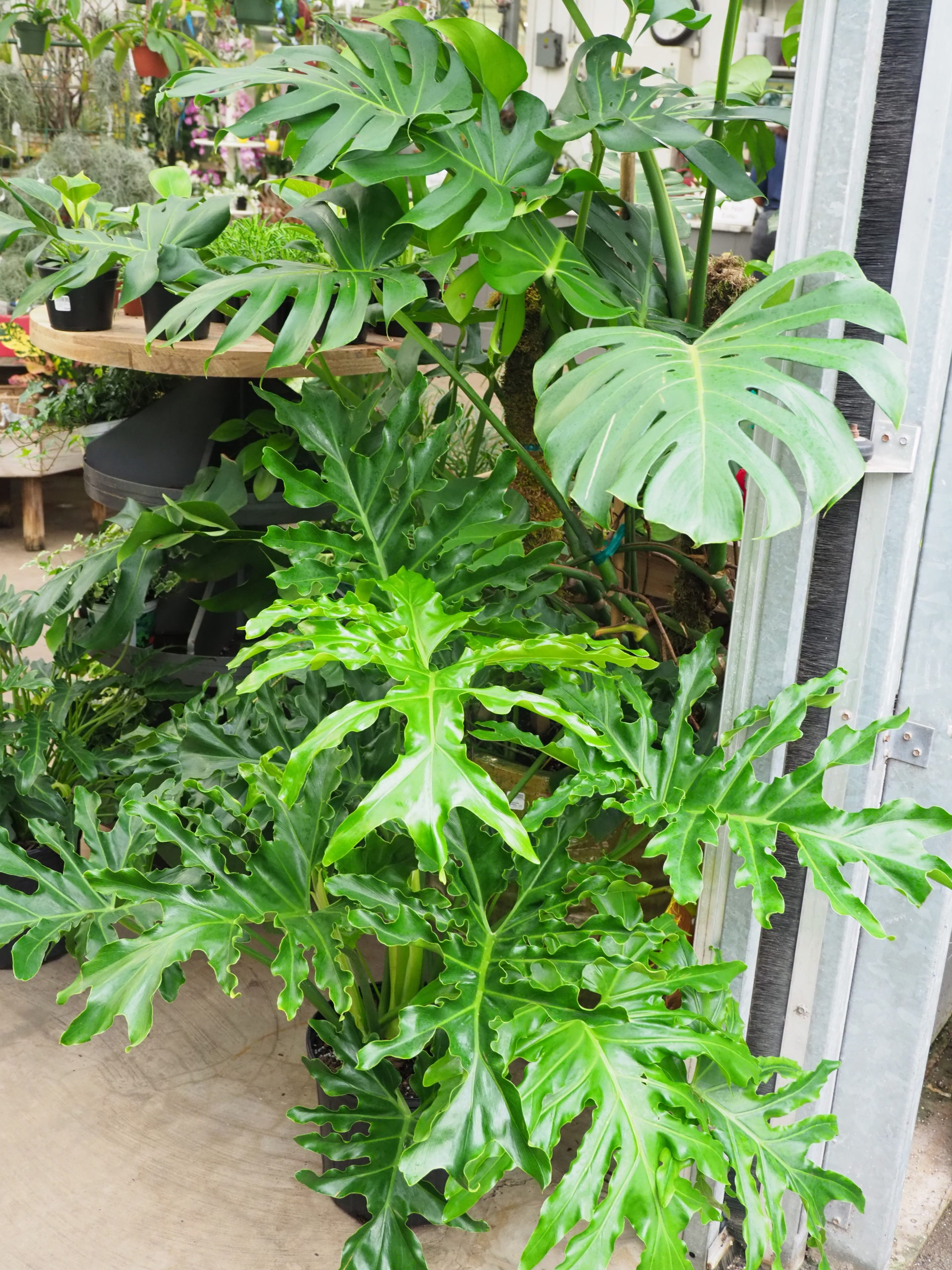 Selloum philodendrons make good low-to-moderate-light houseplants, but vine types should be trained on a stake. Most vine plants want to climb. Easily managed with pruning, there are several varieties. No real serious insect or disease issues.