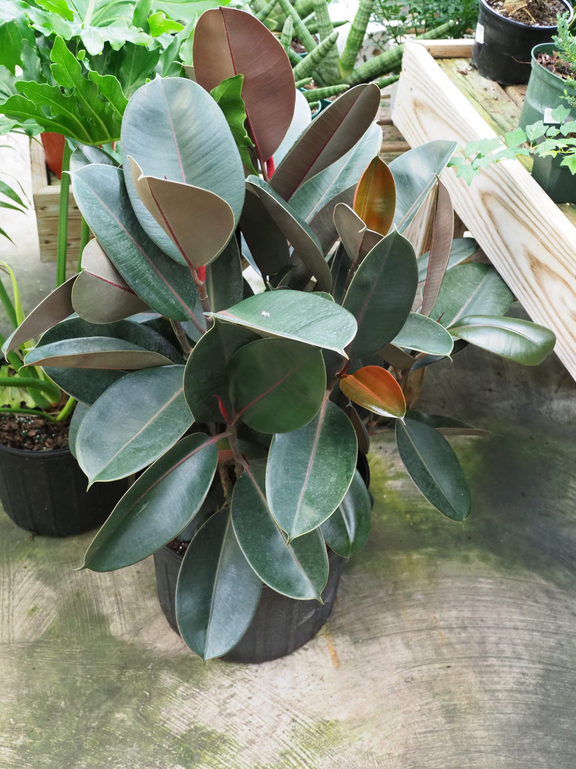 Among the Ficus, the decora varieties make good, low-maintenance houseplants. Some varieties have dark to almost black foliage while others can have hints of red, green and white. Fast growing but easily pruned to maintain size and shape.
