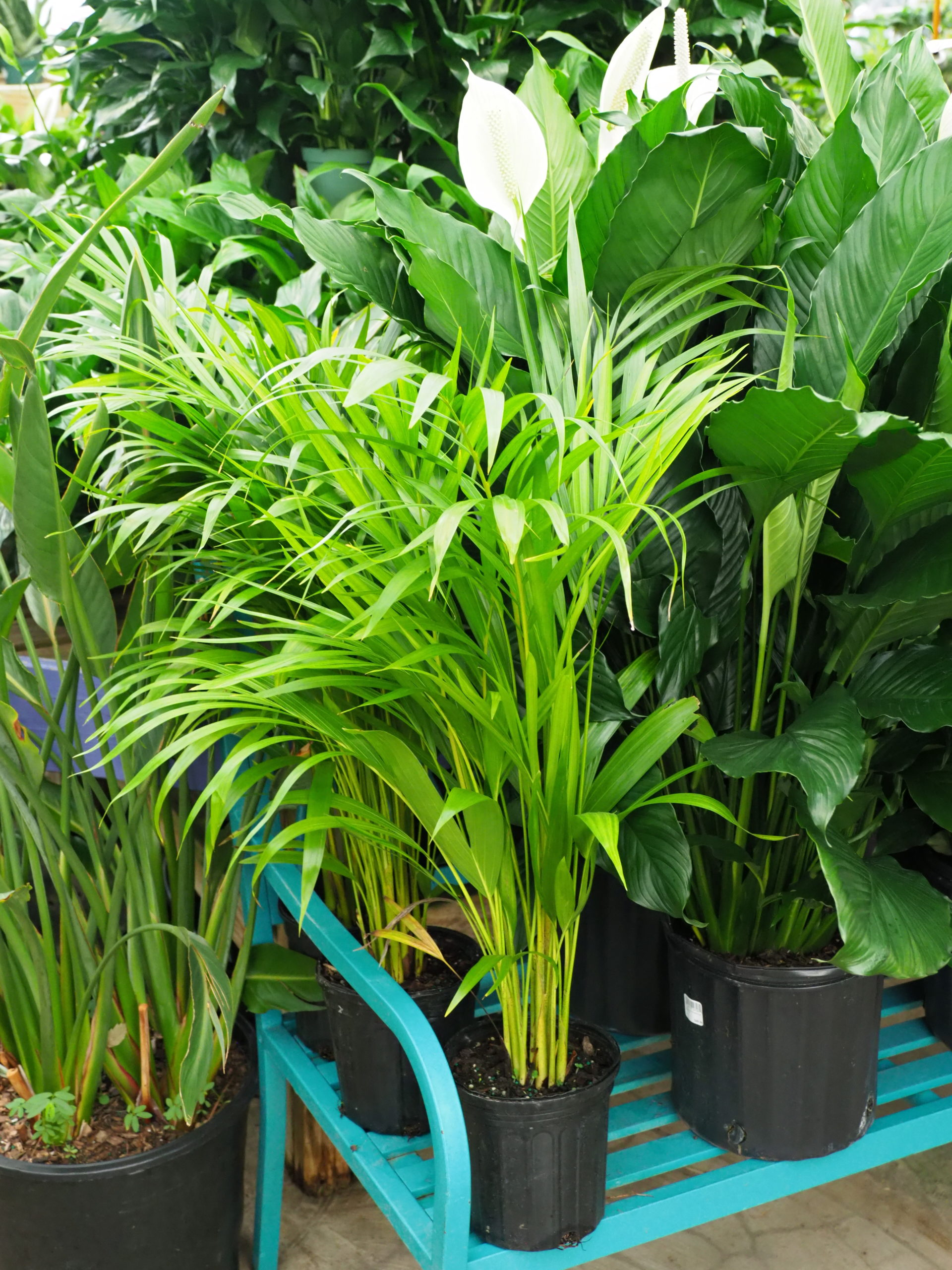 Palms were the classic houseplants of the 19th and 20th centuries. In most cases, they should be considered temporary or disposable, as they are prone to a number of insects and diseases.