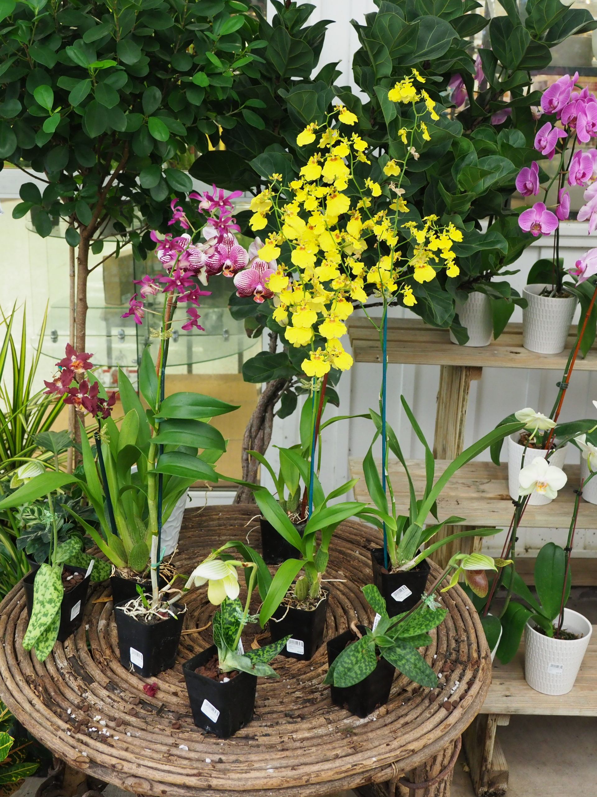 Once considered a plant for only accomplished gardeners, orchids are now so inexpensive that they are nearly disposable. Getting them to rebloom is the challenge, but when they do, there's an incredible sense of accomplishment. Some are very easy, others, much harder. Flowers often last for weeks to months.