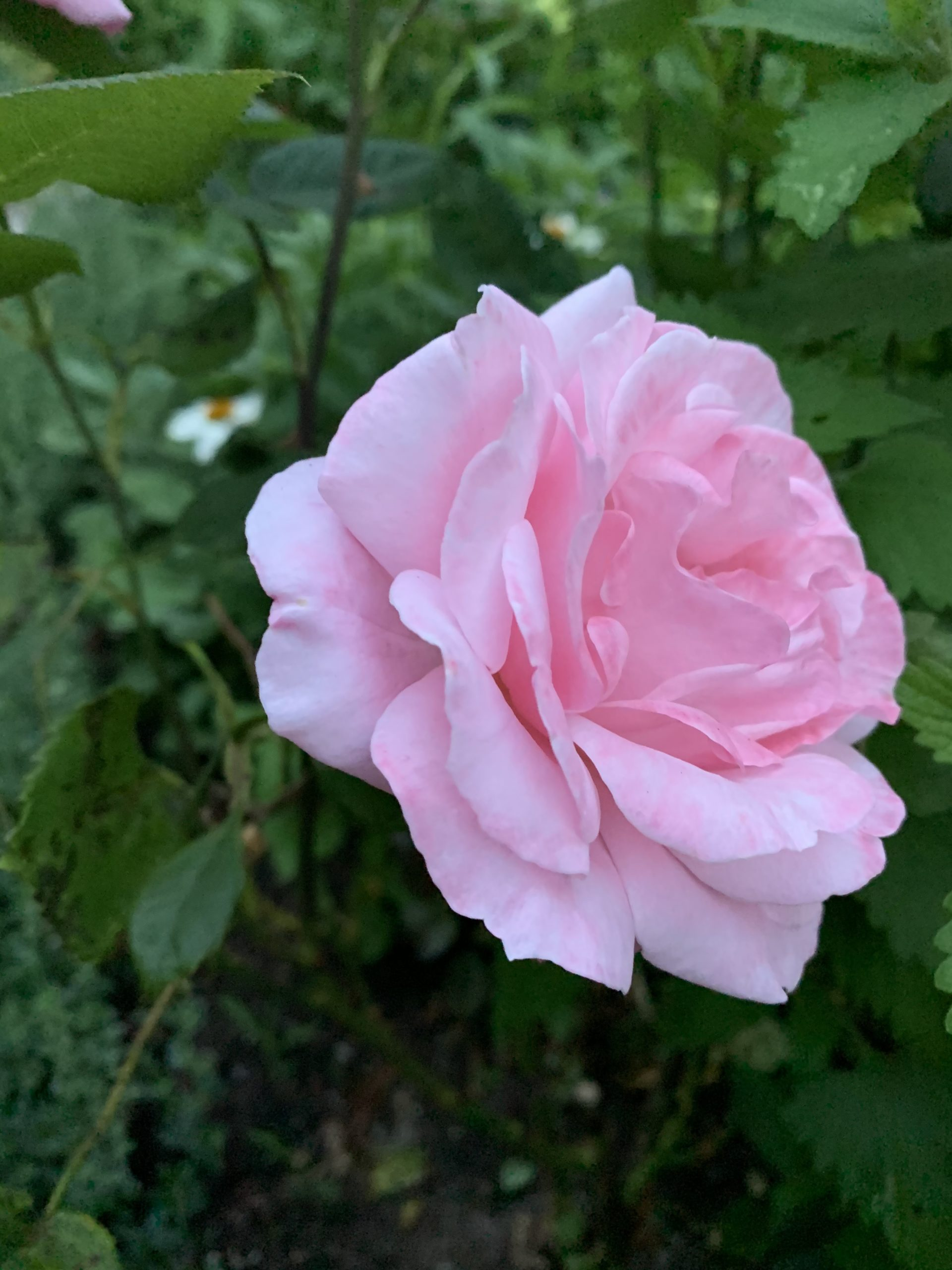 Queen Elizabeth rose.