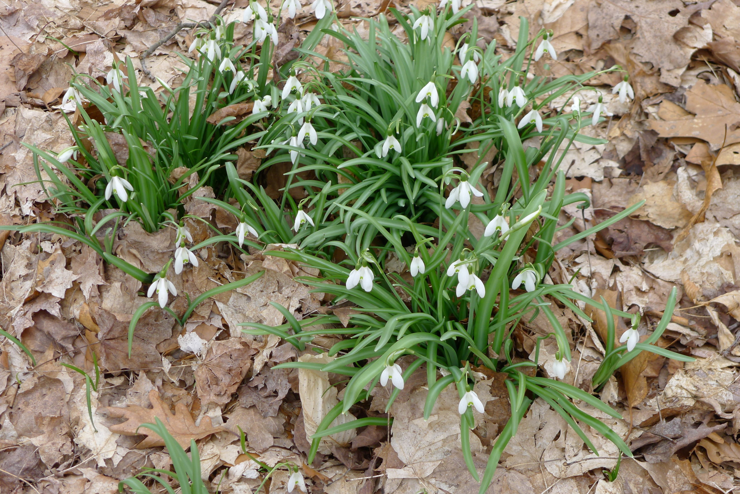In late March into early April (or sooner on the southern side of a house) snowdrops (Galanthus) emerge. True harbingers of spring, they're usually the first bulbs to flower and often push up through the snow. If happy, they will naturalize.
