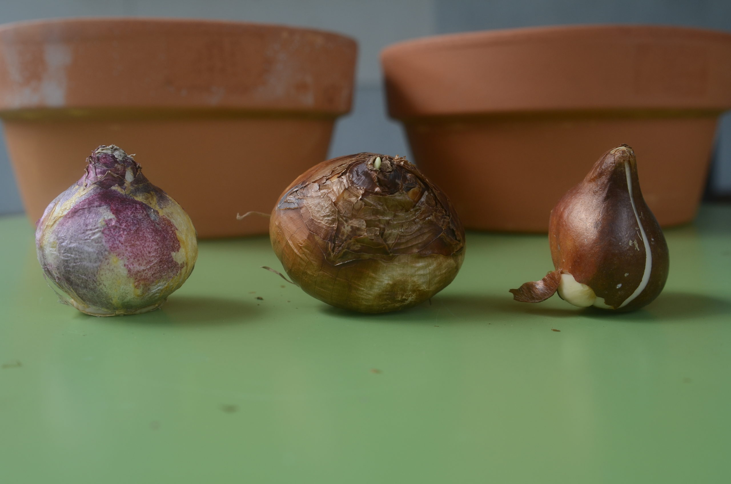 Three spring-flowering bulbs each with its