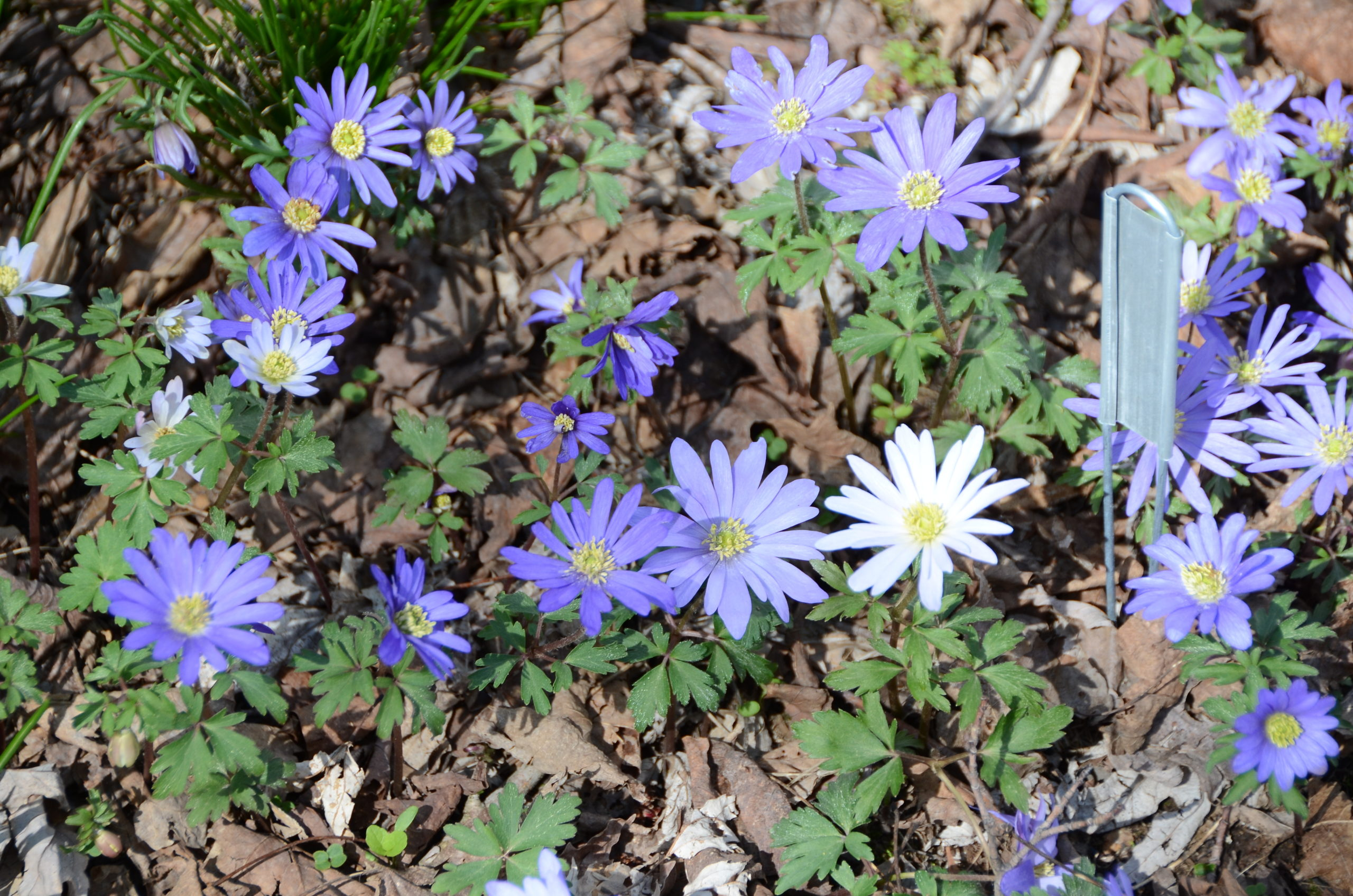"""Anemone blanda, or the windflower, will bloom in mid to late April. Short and very attractive, it's one of the minor bulbs that's great in mass plantings or as an """"edger."""" It naturalizes, lasts for years and years, and doesn't seem to be bothered by rodents."""