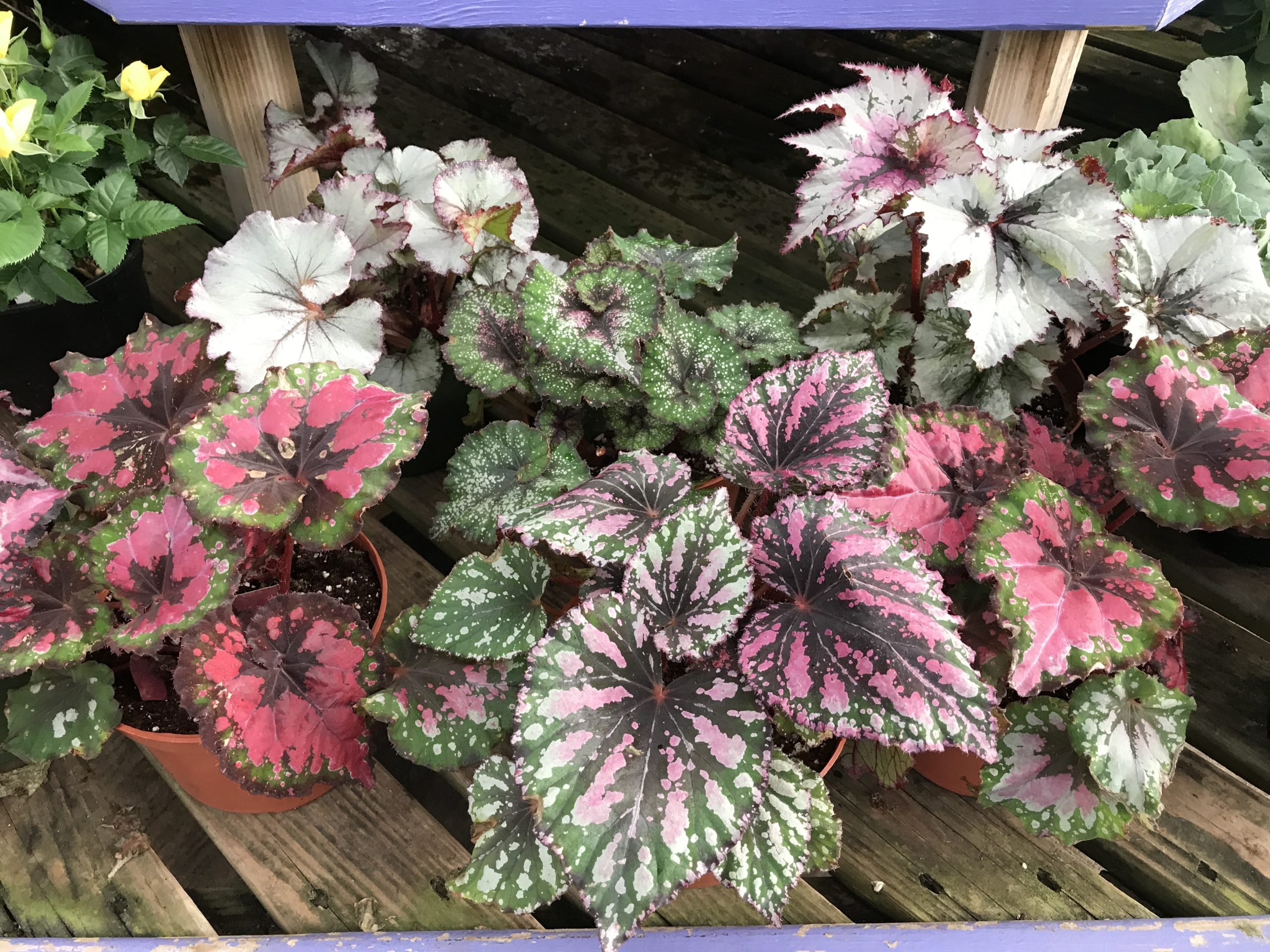 Rex Begonias make great houseplants with wonderful color ranges and patterns.