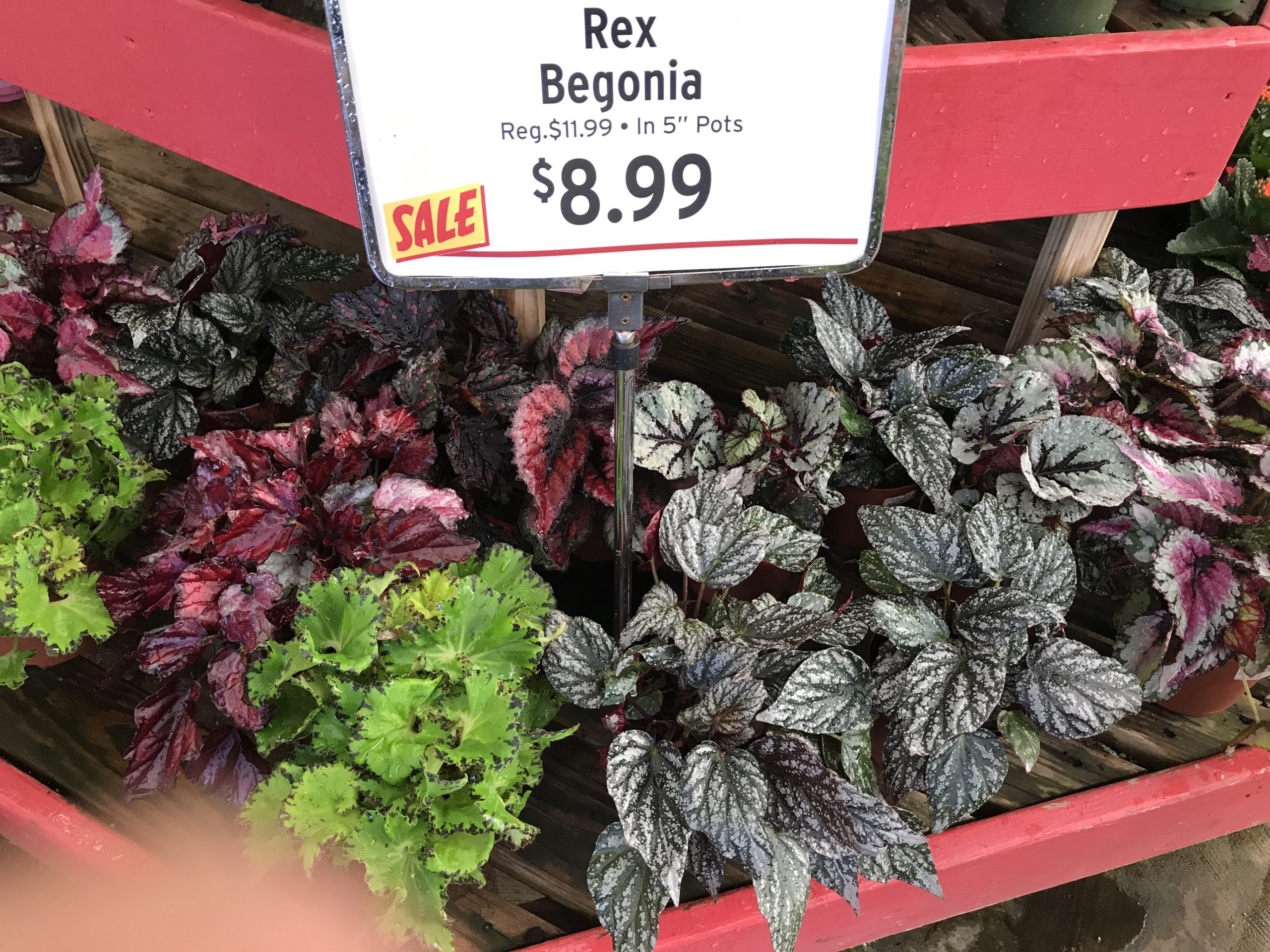 Rex Begonias on sale in 5-inch pots. Expect them to last about three years with annual repotting.