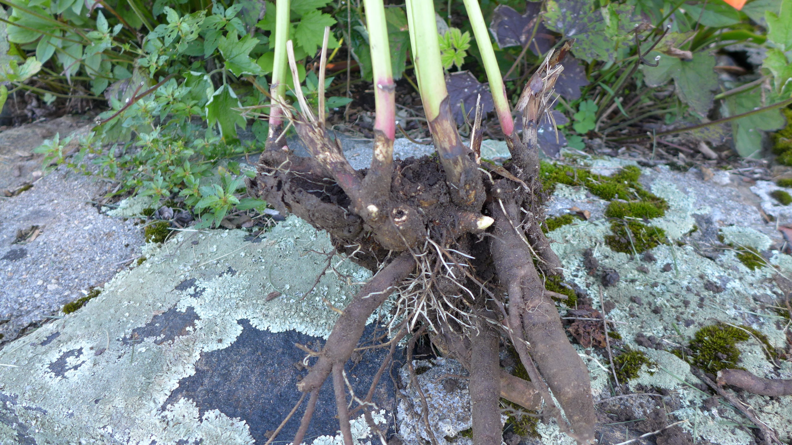 Dahlia roots/tubers should be dug, allowed to air dry, then stored in a dark cool (not freezing) spot packed in peat moss. Each section should have several eyes (light protrusions emerging from the tubers). Don't wash prior to storing. Cut the stems to 1 to 2 inches when storing.
