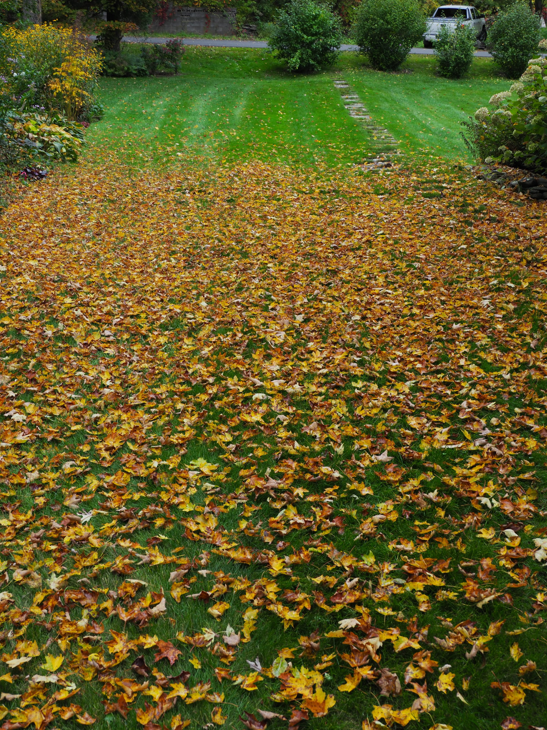 These maple leaves fall straight down from the maple above. There are probably too may for a mulching mower to handle, but if raked or blown into a pile they can easily be shredded. If left on the lawn the leaves will inevitably get wet, mat down and kill the grass.