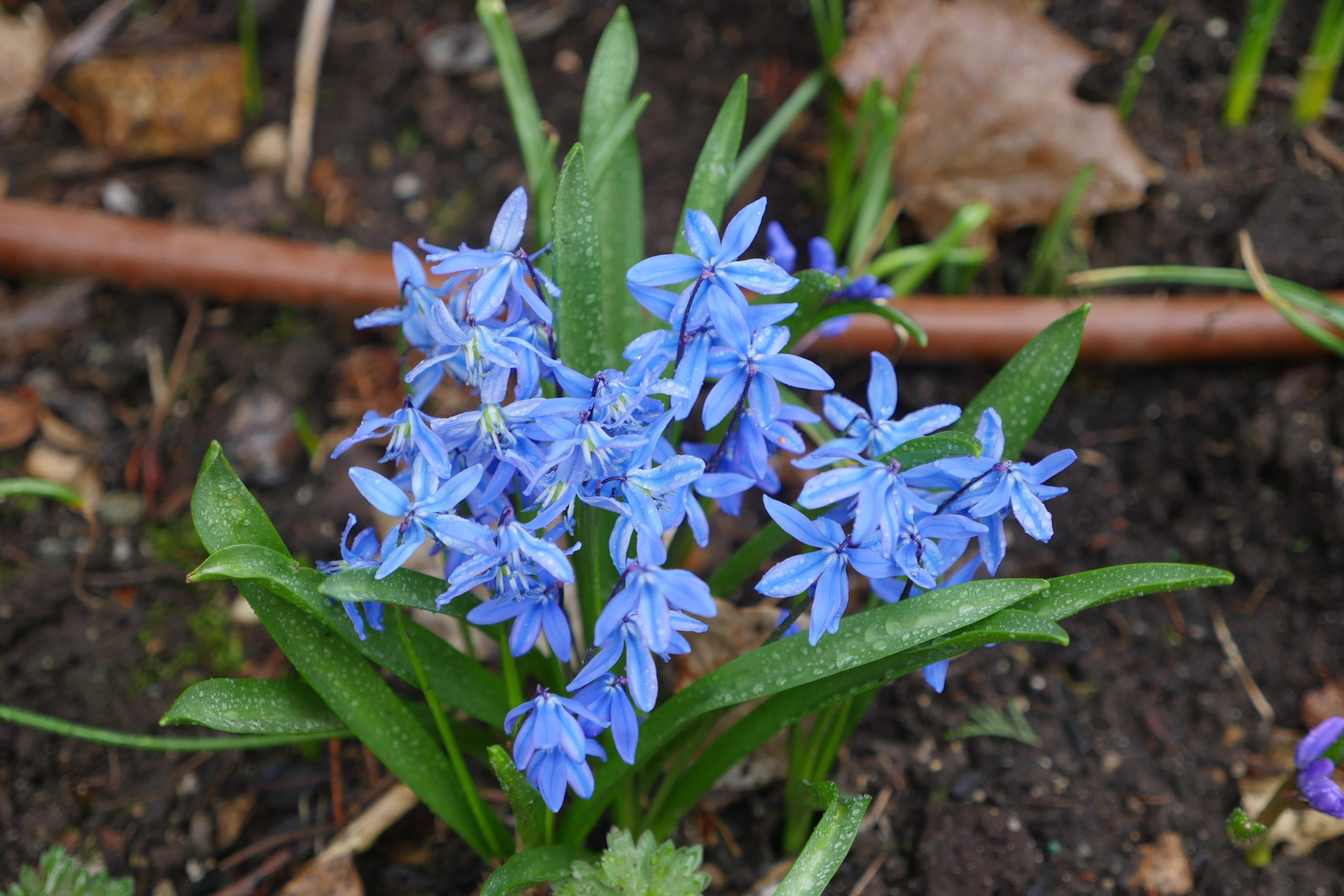 This blue variety of Chionodoxa can flower in late February in a southern exposure but usually flowers in March. It's the blue relative of glory of the snow.