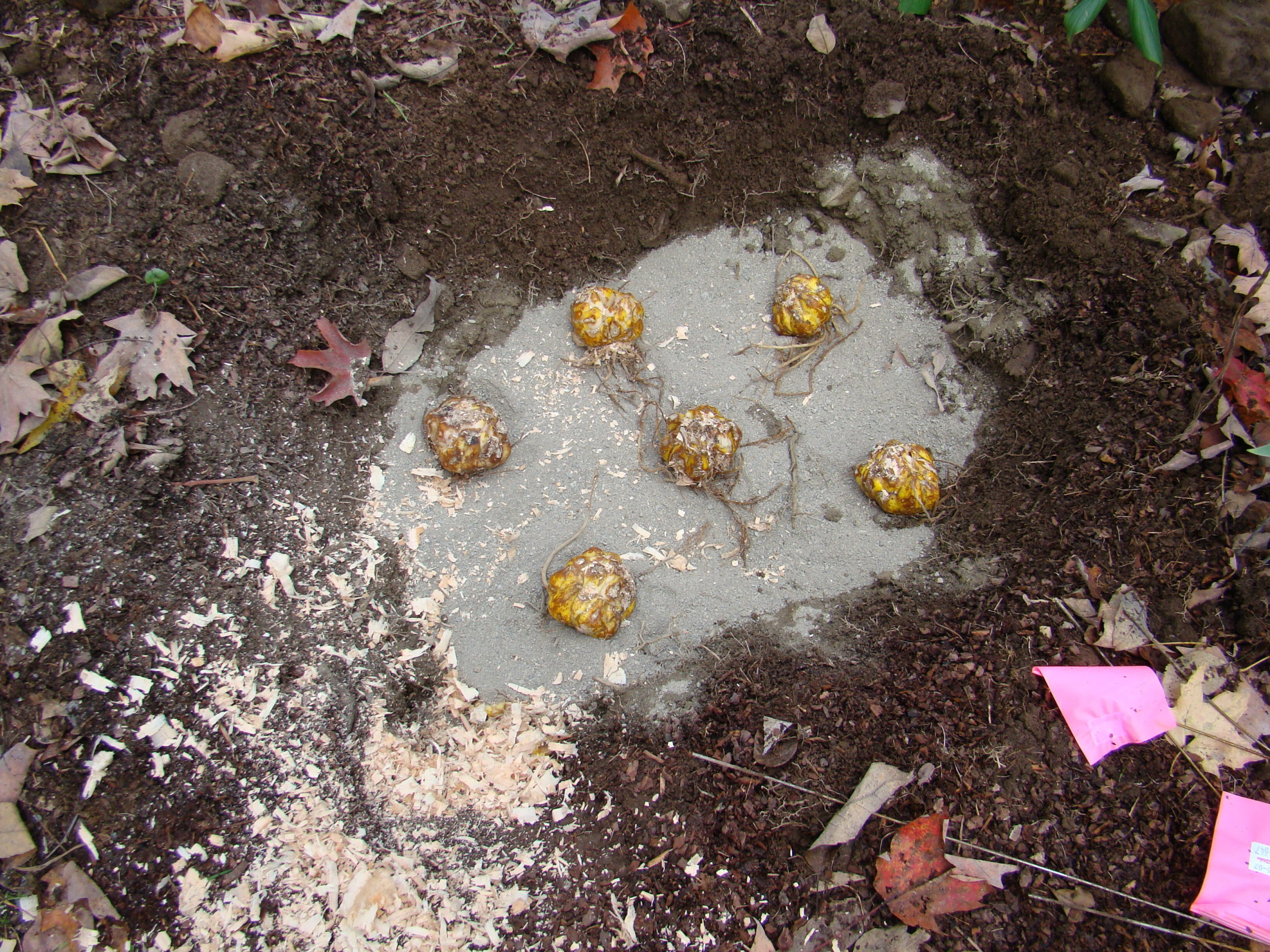 Lily bulbs are planted fairly deep and often in groups. Sand was added at the bottom to aid in draining in a somewhat clayey soil.