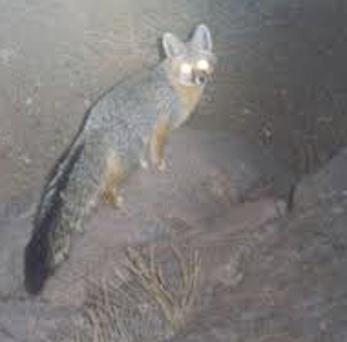 3) A Gray Fox.    USFWS PHOTO