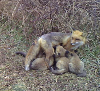 2) A Red Fox vixen in her summer coat.  FRED HAVEMEYER