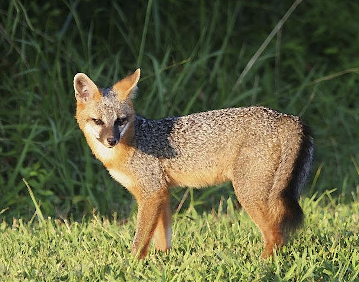 4)  A Gray Fox.        USFWS PHOTO