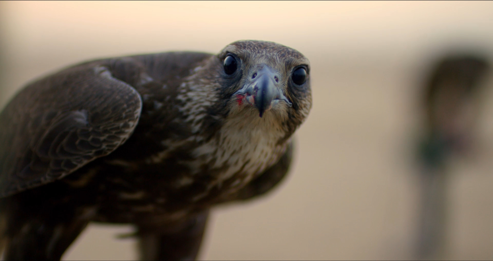 A racing falcon in