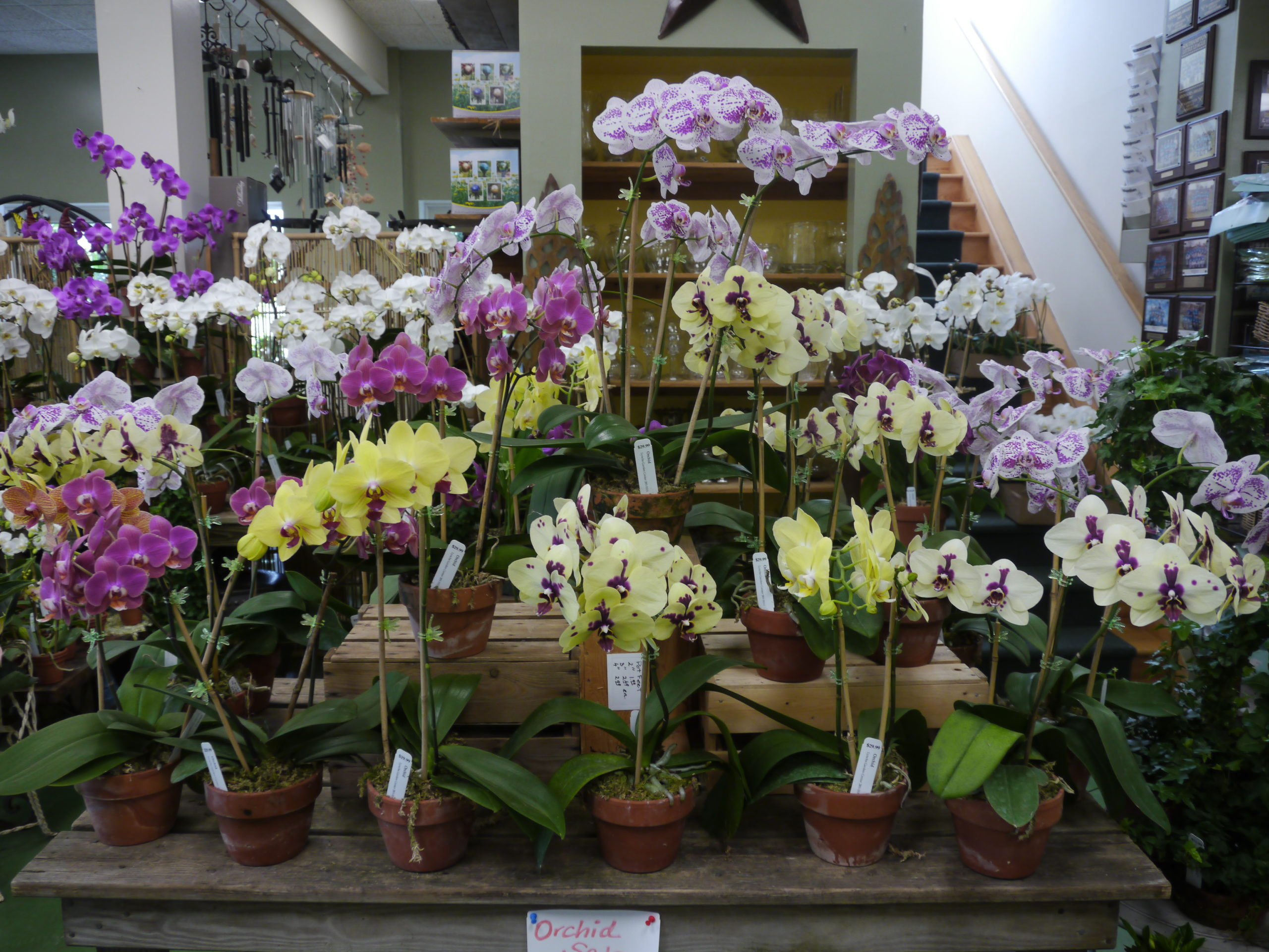 Most of the East End's garden centers and plant shops have lots of orchids at this time of the year, but they go very, very fast.
