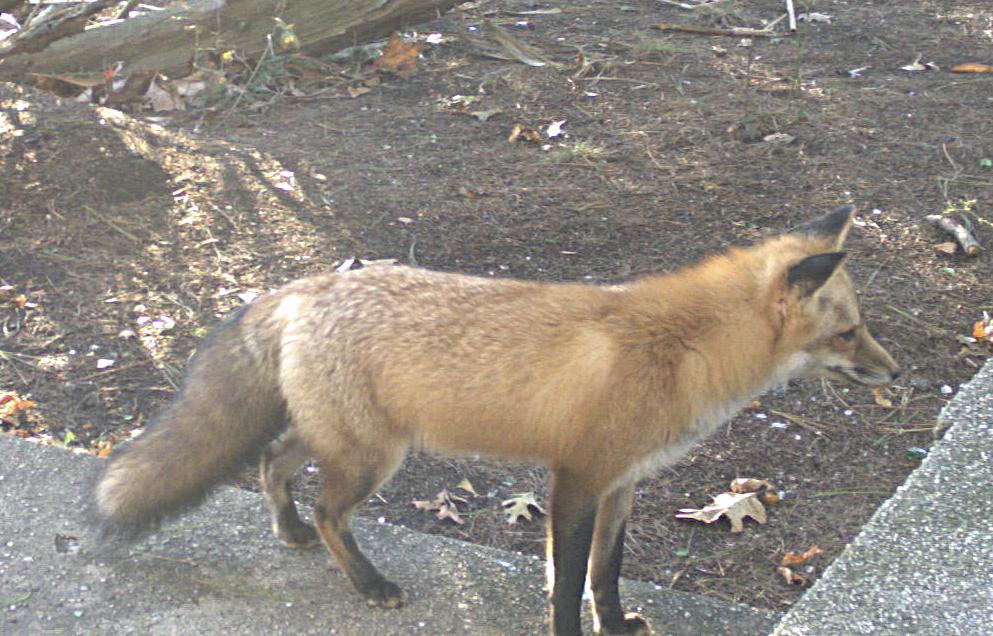 1) Red Fox.    MIKE BOTTINI